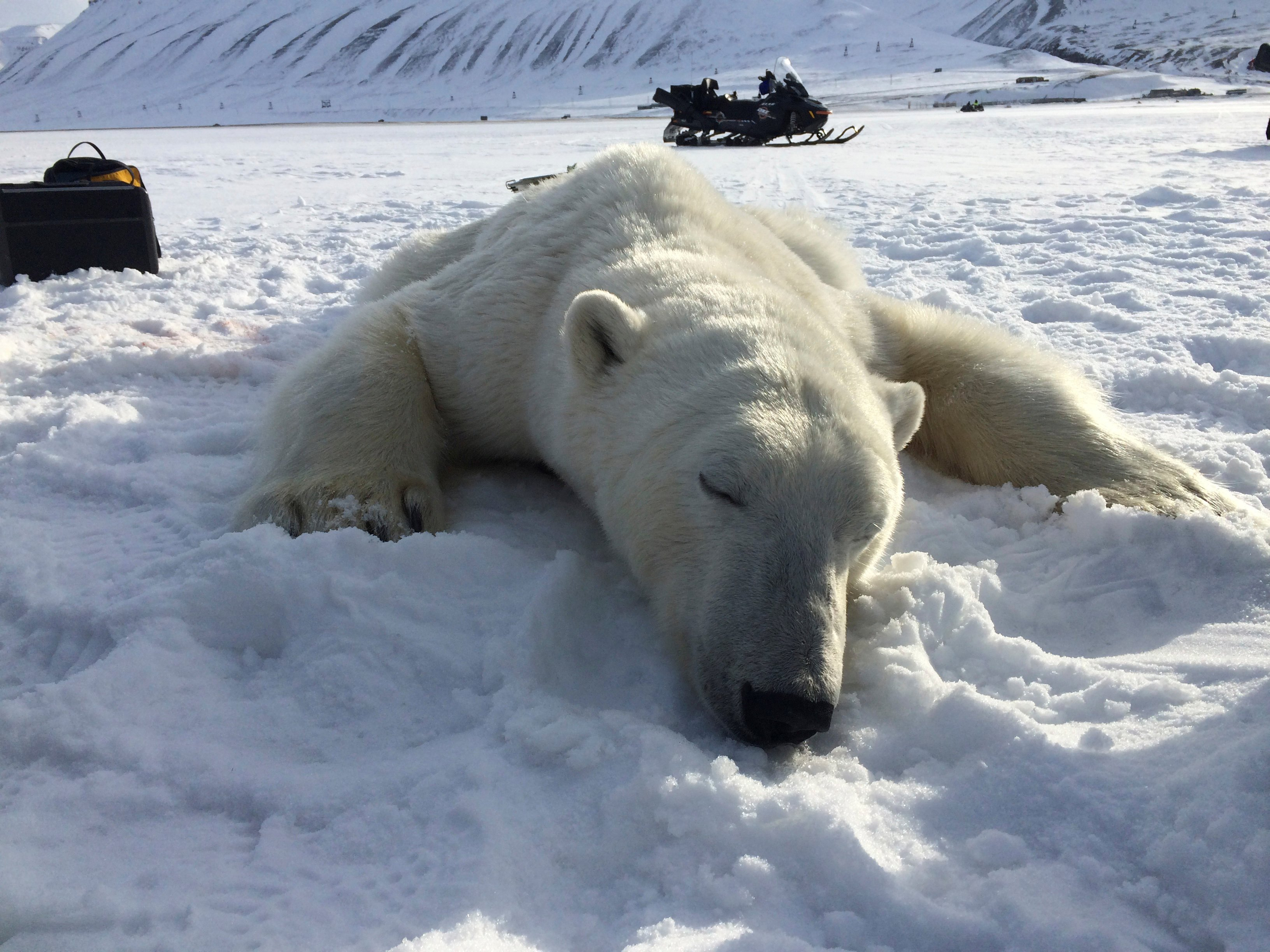 As Norway's Arctic draws visitors, more polar bears get shot