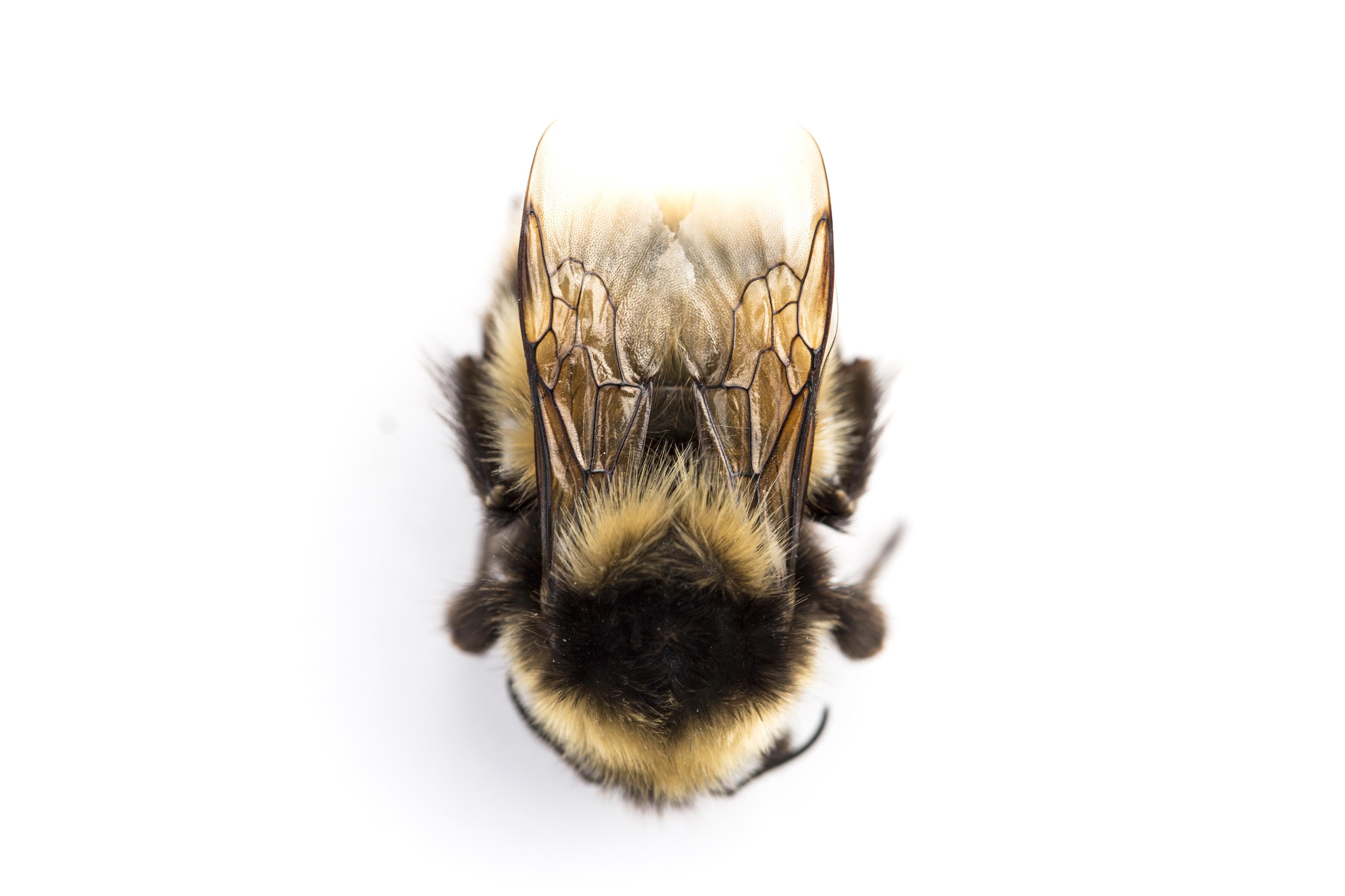6 scientists, 1,000 miles, 1 prize: The Arctic Alaska Bumblebee