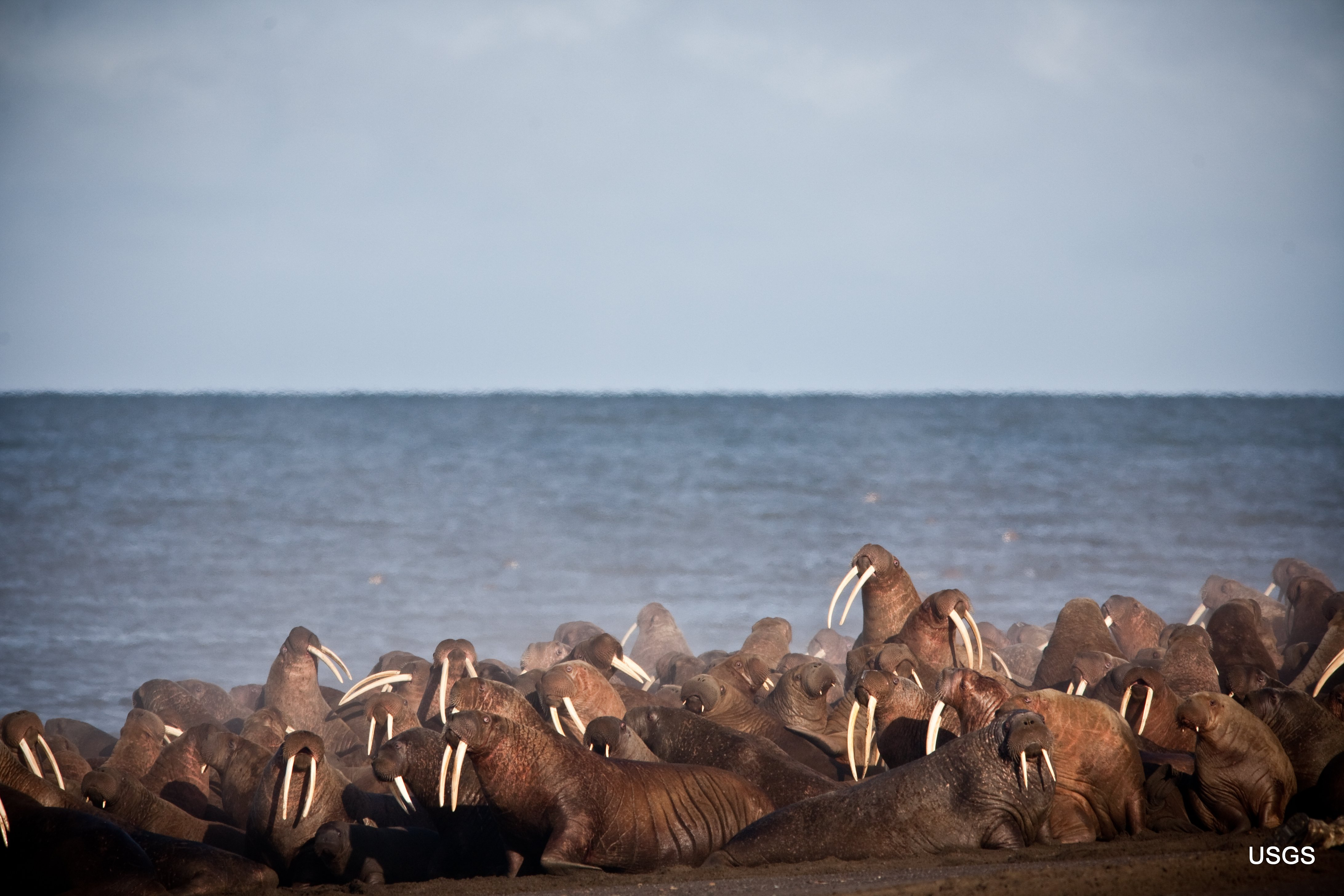 There's a walrus haulout near Point Lay again, but it's begun later than in recent years