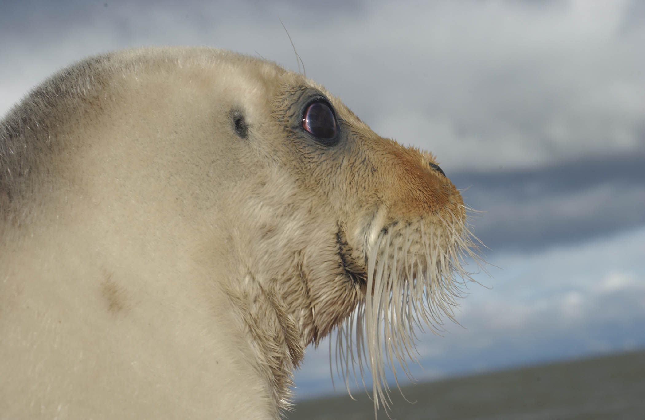 US appeals court supports climate-based listing of bearded seals as threatened
