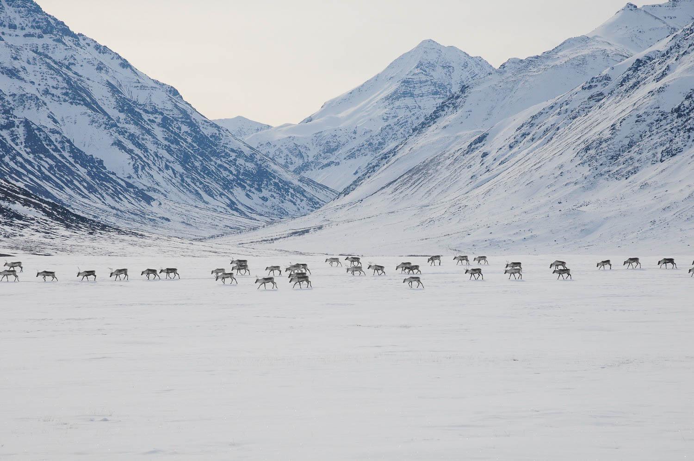 Caribou migrating in Gates of the Arctic National Park, April 2012. (Zak Richter / NPS)