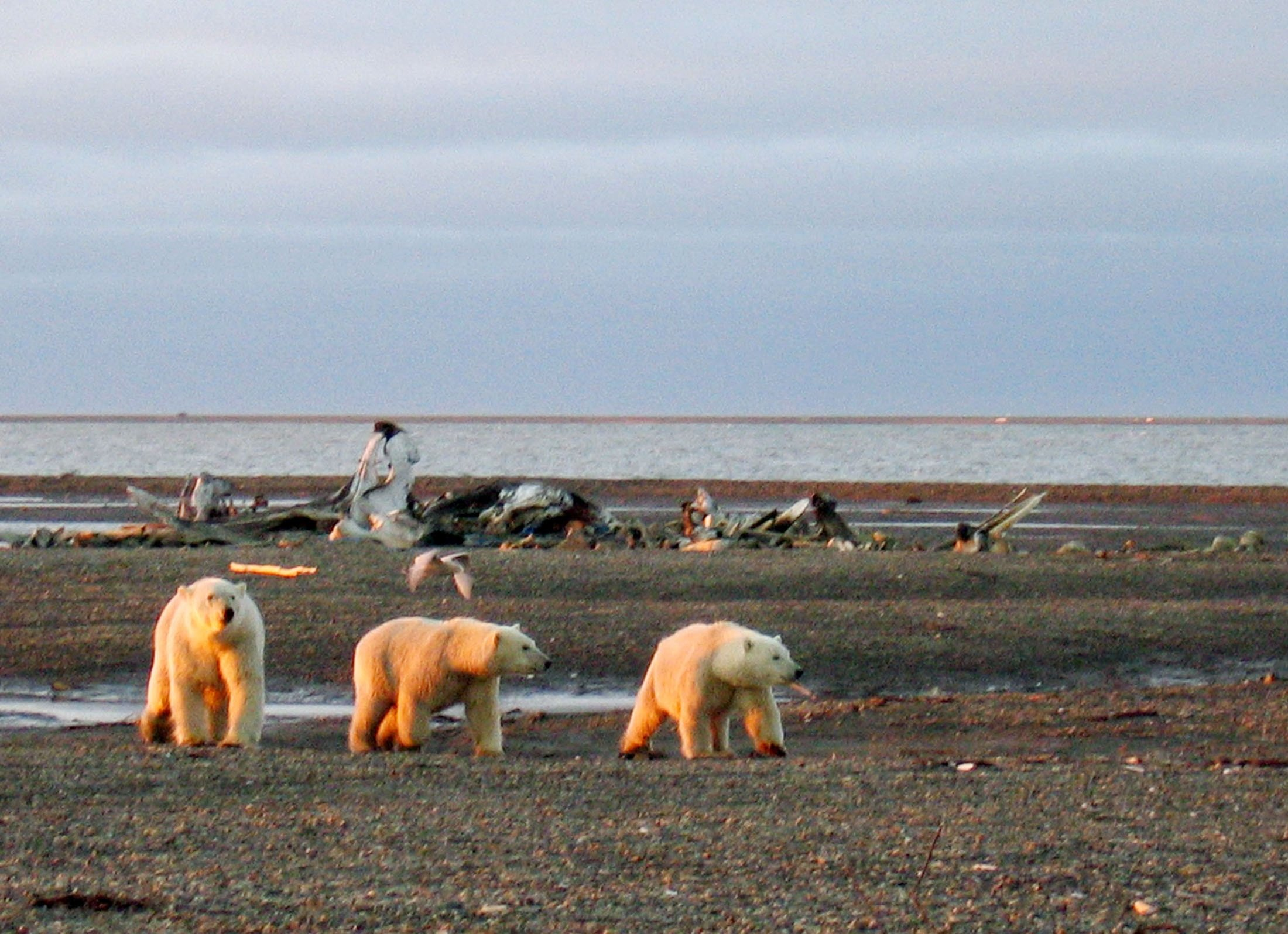 Three polar bears are seen on the Beaufort Sea coast within the 1002 Area of the Arctic National Wildlife Refuge in this undated handout photo provided by the U.S. Fish and Wildlife Service Alaska Image Library on December 21, 2005. (U.S. Fish and Wildlife Service Alaska Image Library / Handout via Reuters)