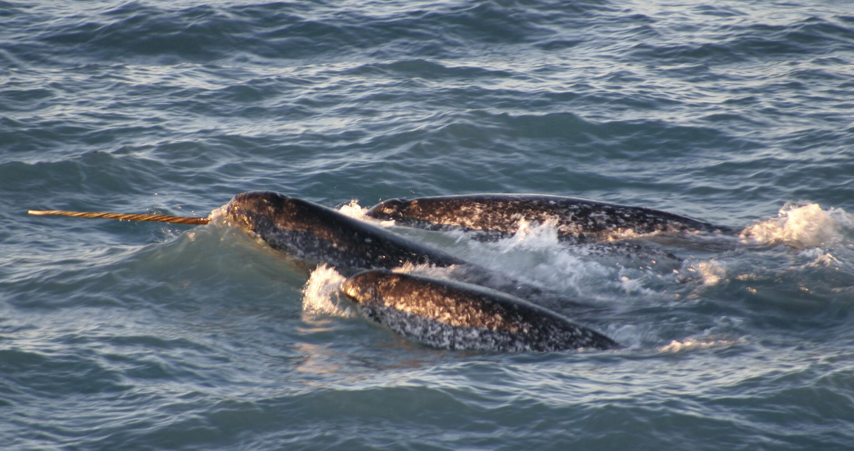 In a photo provided by the National Oceanic and Atmospheric Administration, a pod of narwhals surfaces in the waters off northern Canada in August, 2005. Researchers tracked narwhals and found that they have exceptional echolocation abilities,  reconstructing their underwater world with more resolution that most other animals on the planet. (Kristin Laidre / NOAA via The New York Times)
