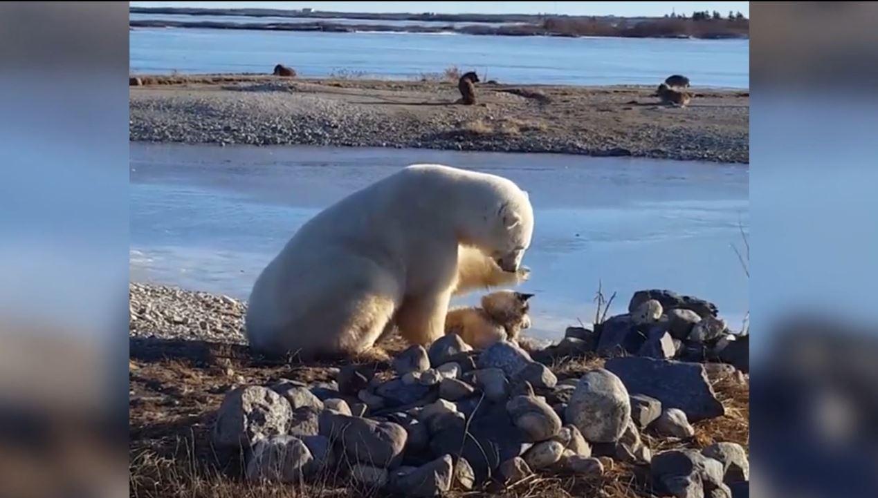 First a polar bear petted a dog. Then a polar bear did what polar bears do: Ate a dog.