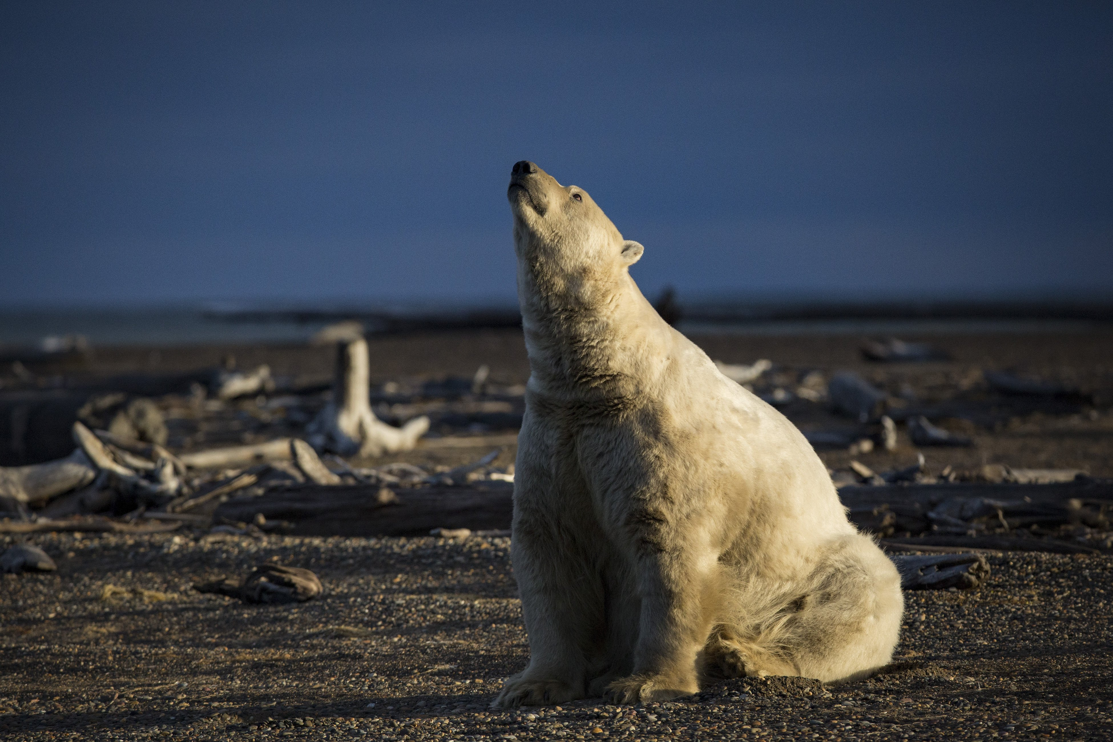 A polar bear in Kaktovik, Alaska, Sept. 11, 2016. Polar bears roam the town during the fall as climate refugees, on land because the sea ice they rely on for hunting seals is receding. (Josh Haner/The New York Times)