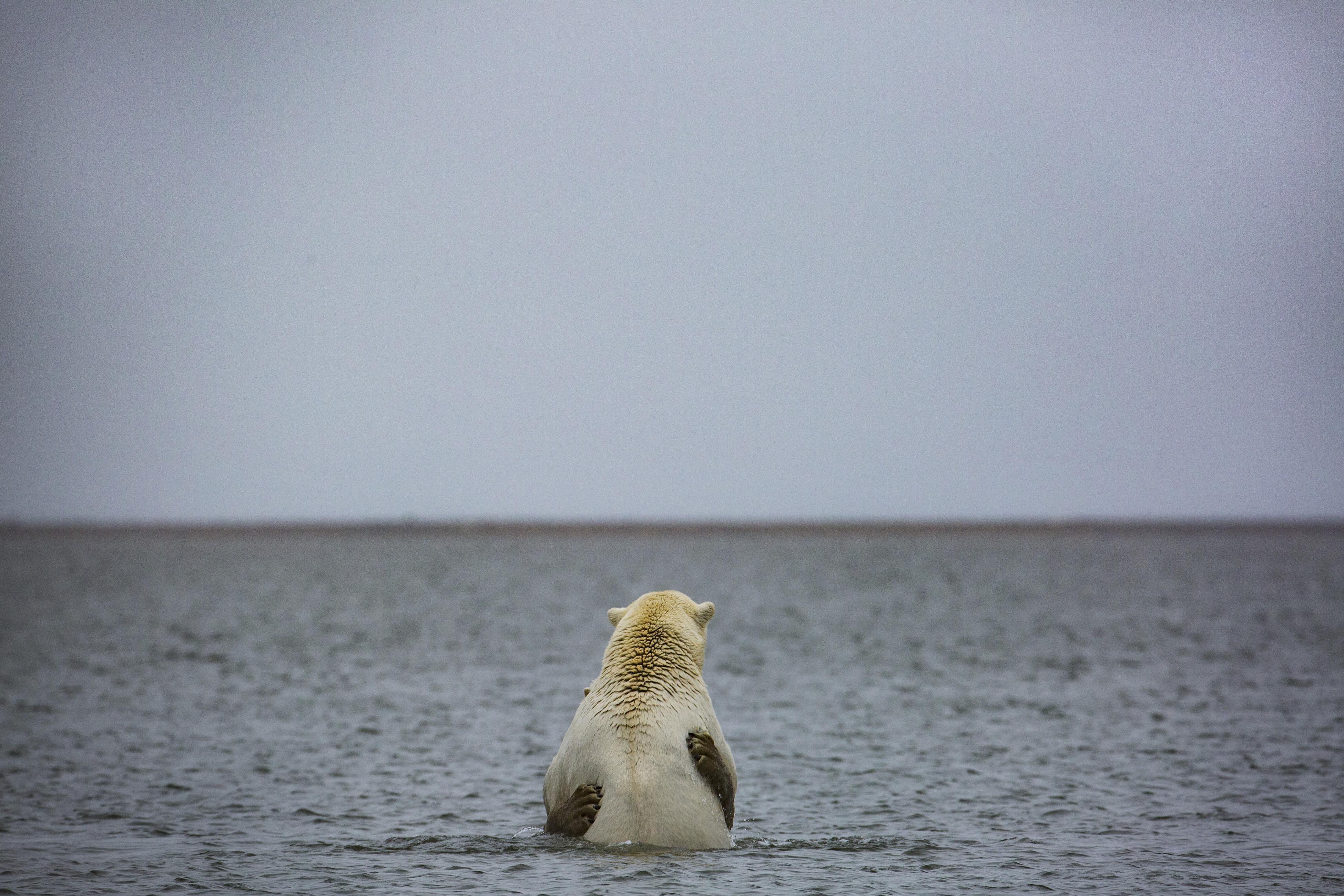 Eastern Arctic polar bears are doing OK — for now