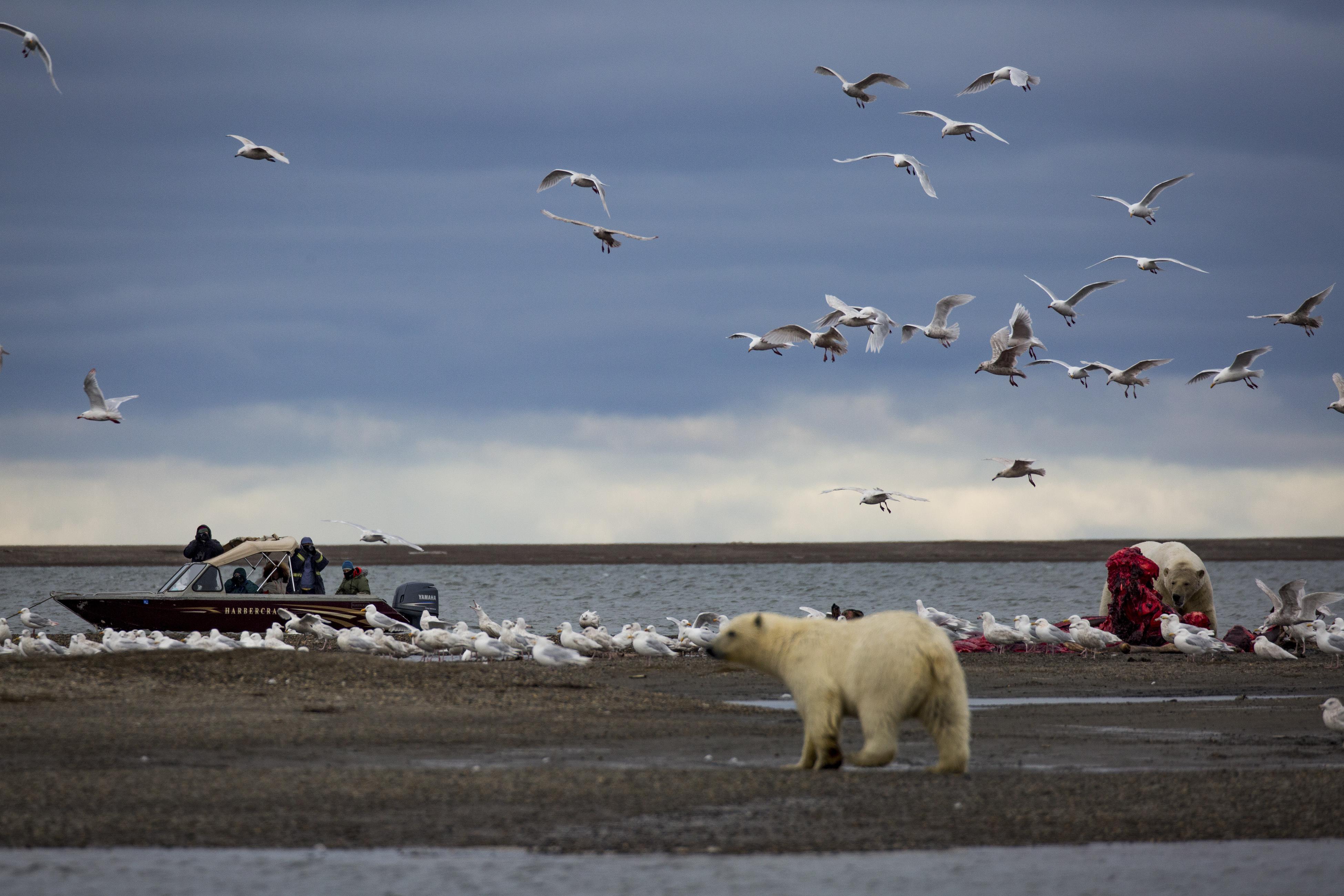 Polar bears' path to decline runs through an Alaska village