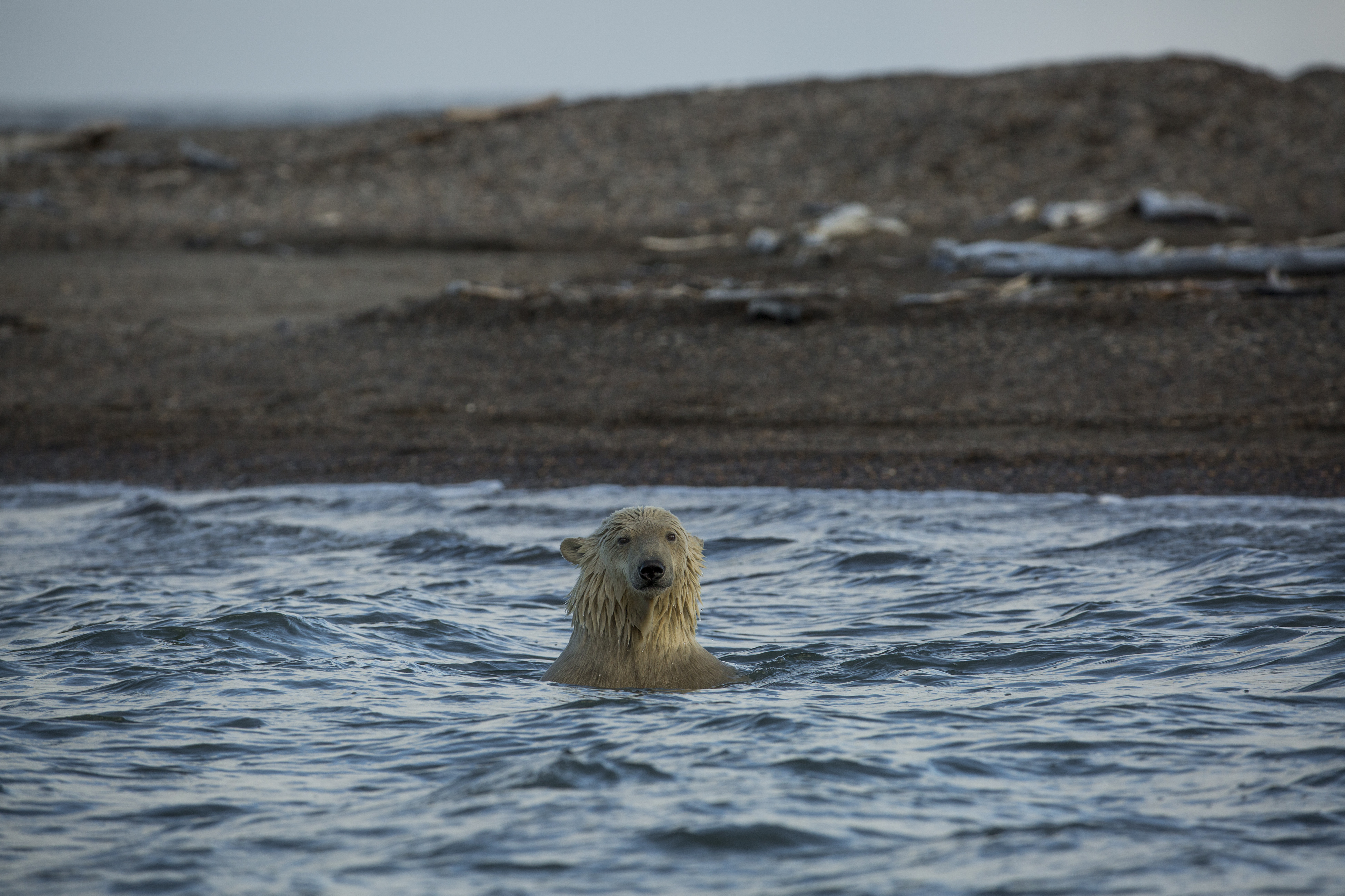 A polar bear swims in the waters off Kaktovik, Alaska, Sept. 11, 2016. Polar bears roam the town during the fall as climate refugees, on land because the sea ice they rely on for hunting seals is receding. (Josh Haner/The New York Times)