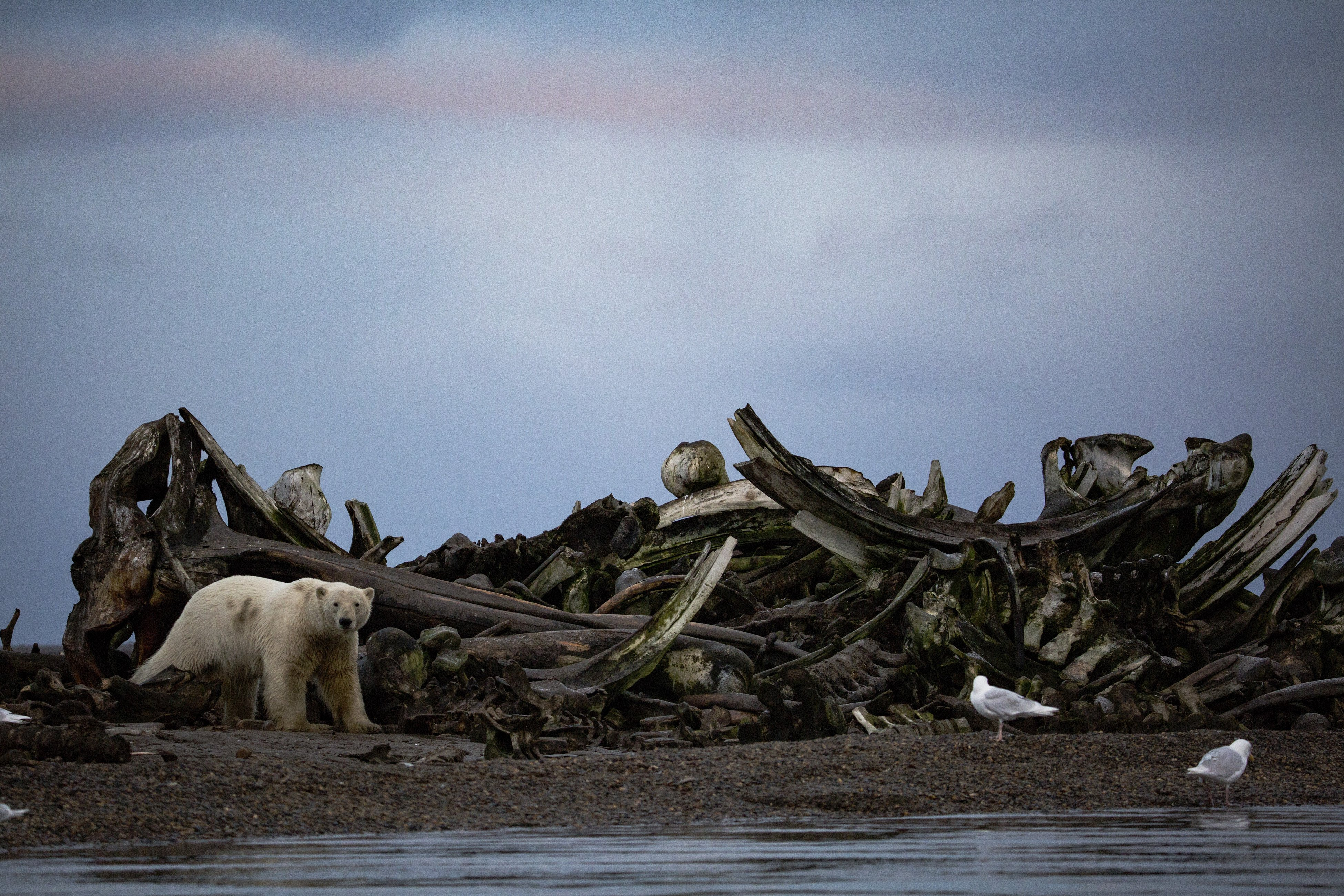 A polar bear near a pile of whale bones placed by villagers just outside the town of Kaktovik, Alaska, Sept. 11, 2016. Polar bears roam the town during the fall as climate refugees, on land because the sea ice they rely on for hunting seals is receding. (Josh Haner/The New York Times)