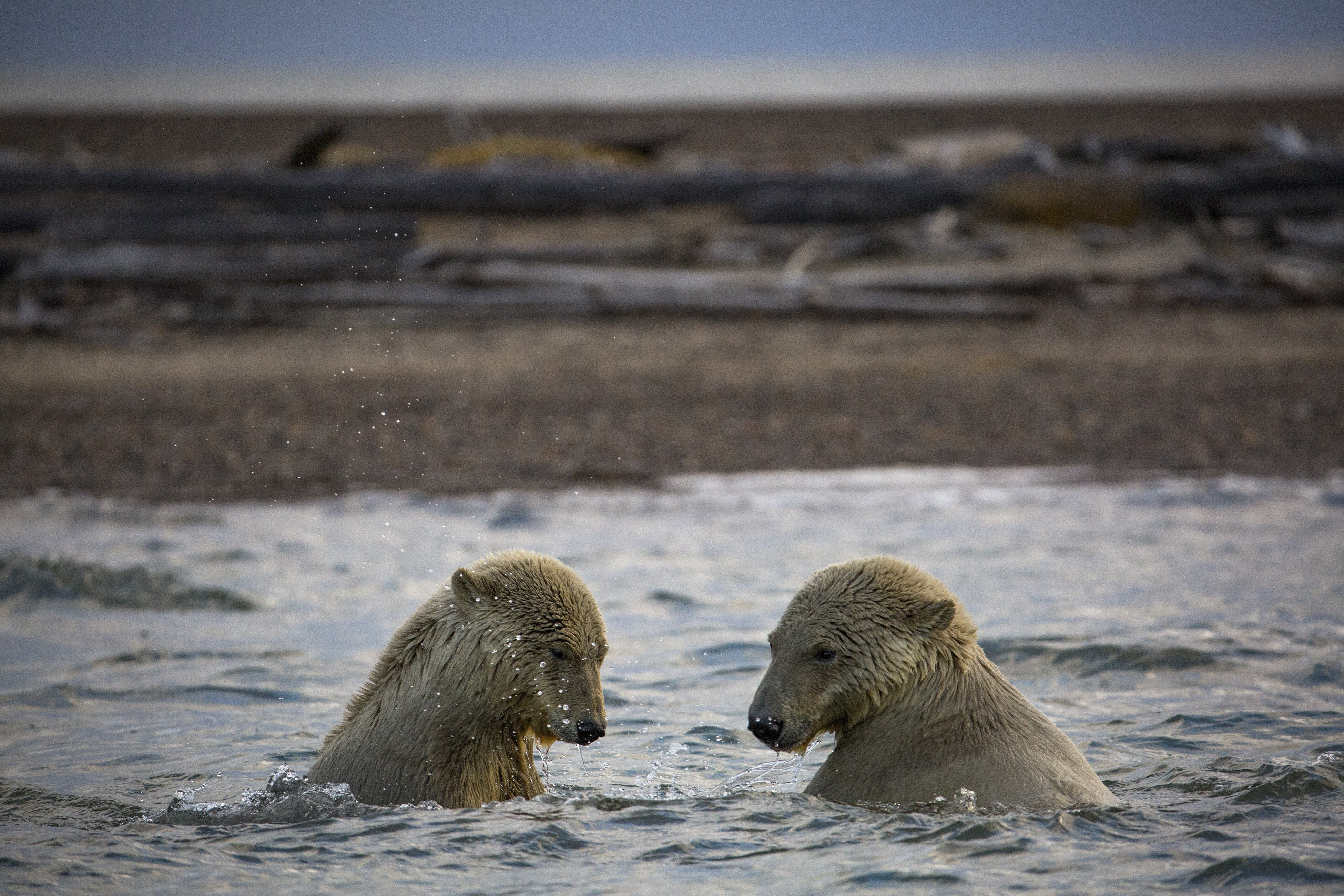 Polar bears in the waters off Kaktovik, Alaska, Sept. 11, 2016. Polar bears roam the town during the fall as climate refugees, on land because the sea ice they rely on for hunting seals is receding. (Josh Haner/The New York Times)