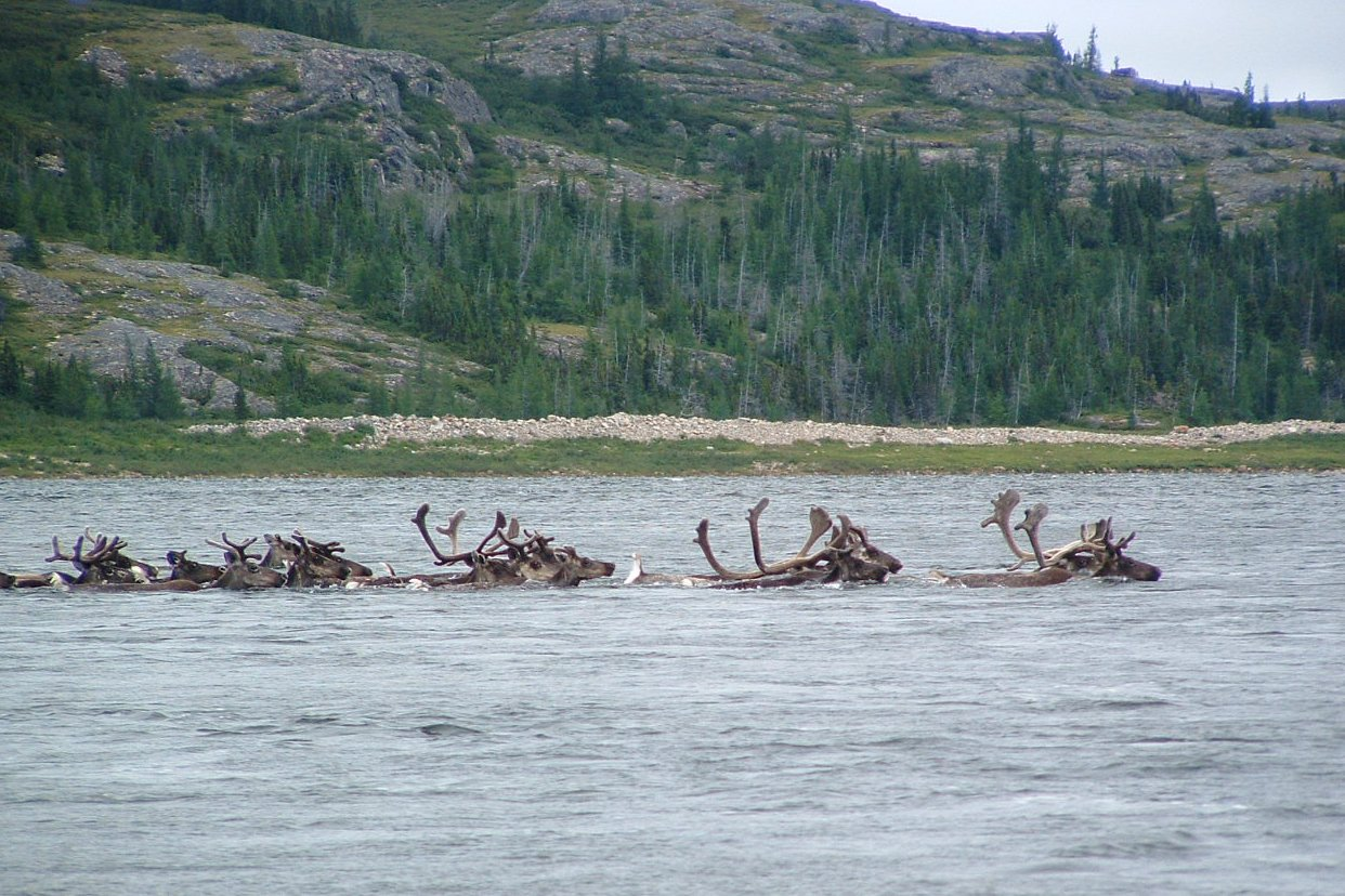 Caribou cross the Leaf River in Northern Quebec in 2007. (Lester Kovac / CC 3.0 via Wikimedia Commons)