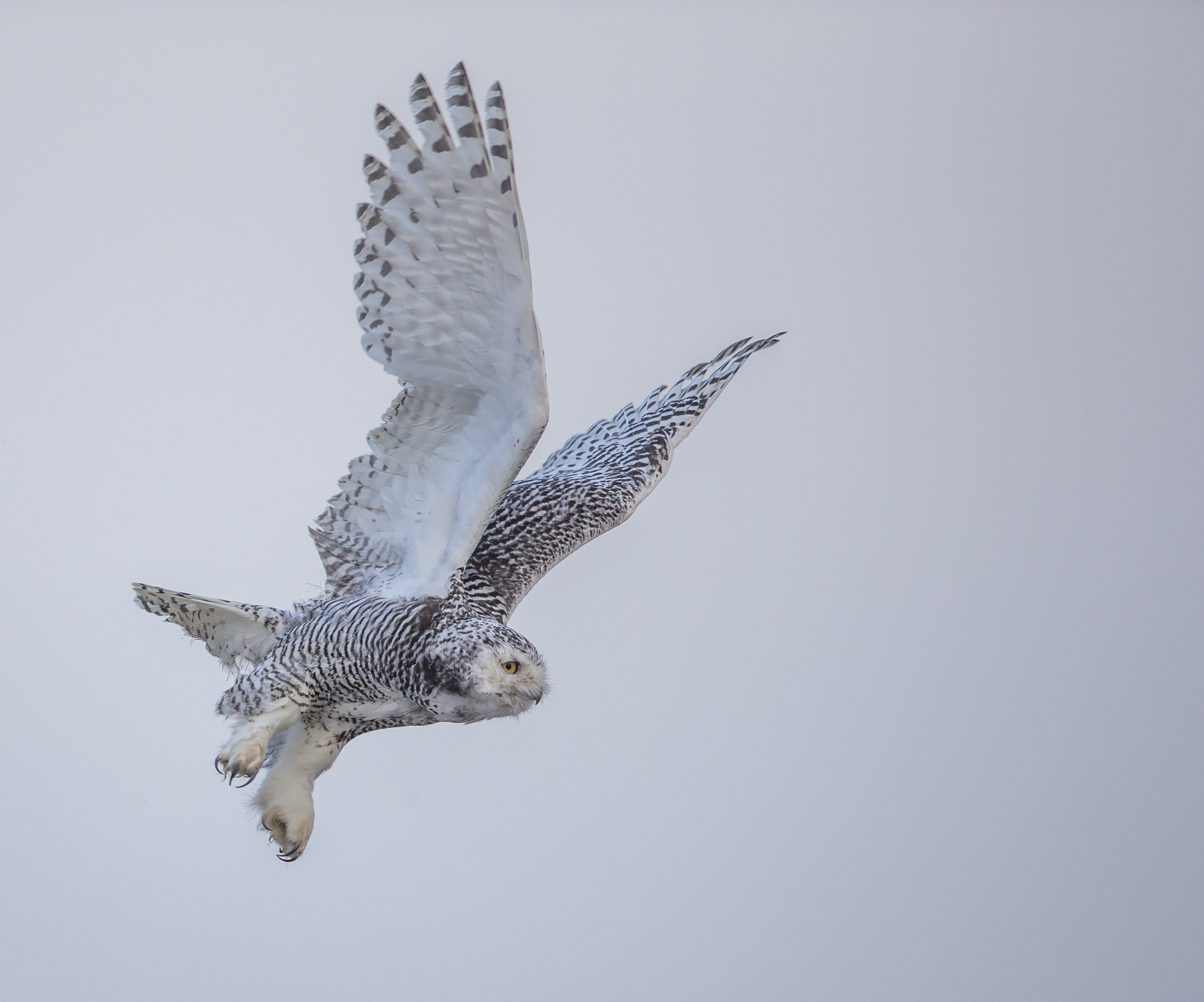 Stalking snowy owls — and the mystery of their wintertime migration