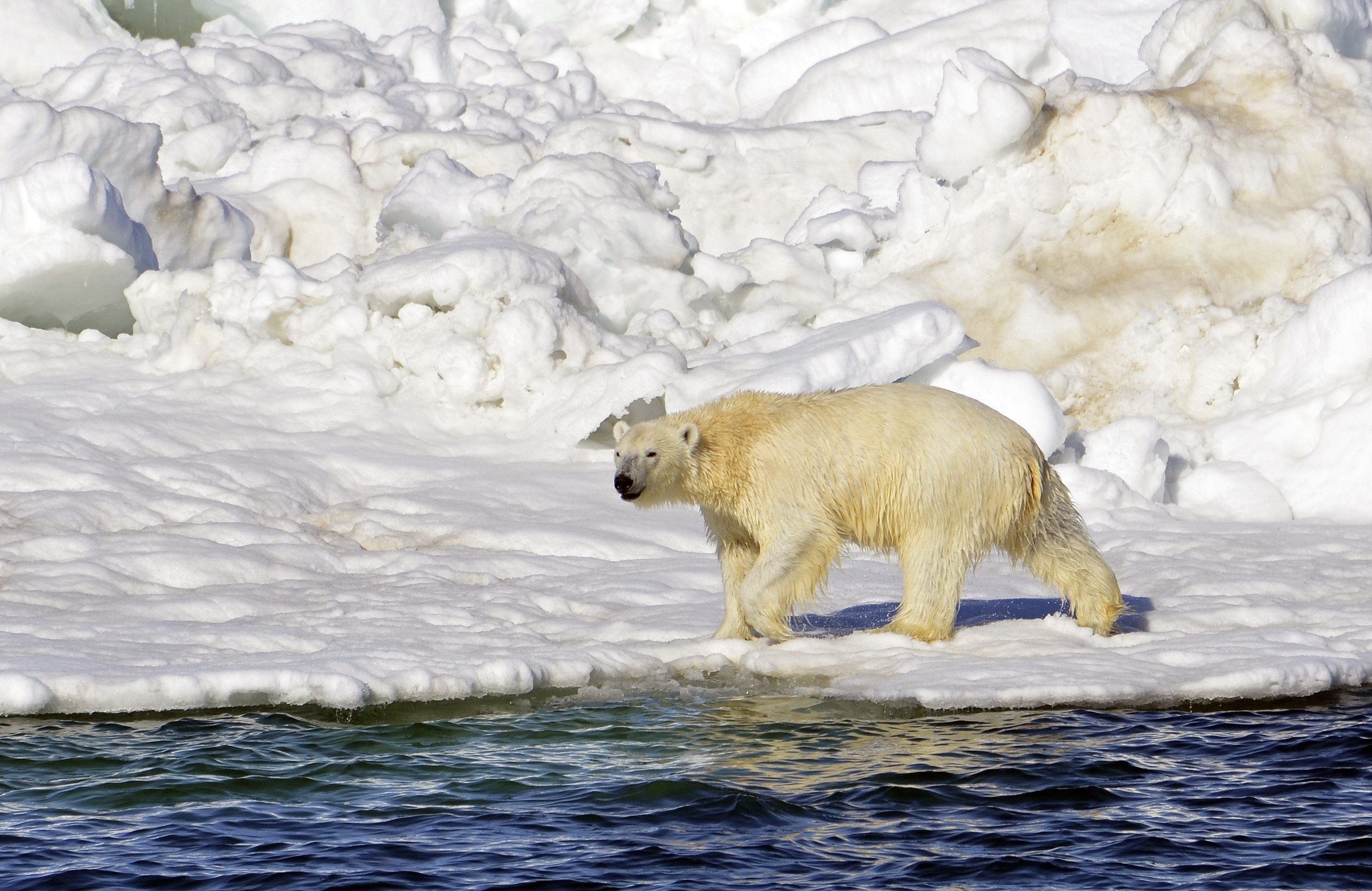 A Chukchi Sea oil spill would affect polar bears in both Chukotka and Alaska