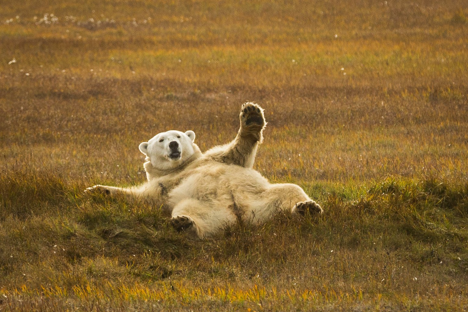 Polar bears in perspective: humanity's complicated relationship with the Arctic's iconic predator