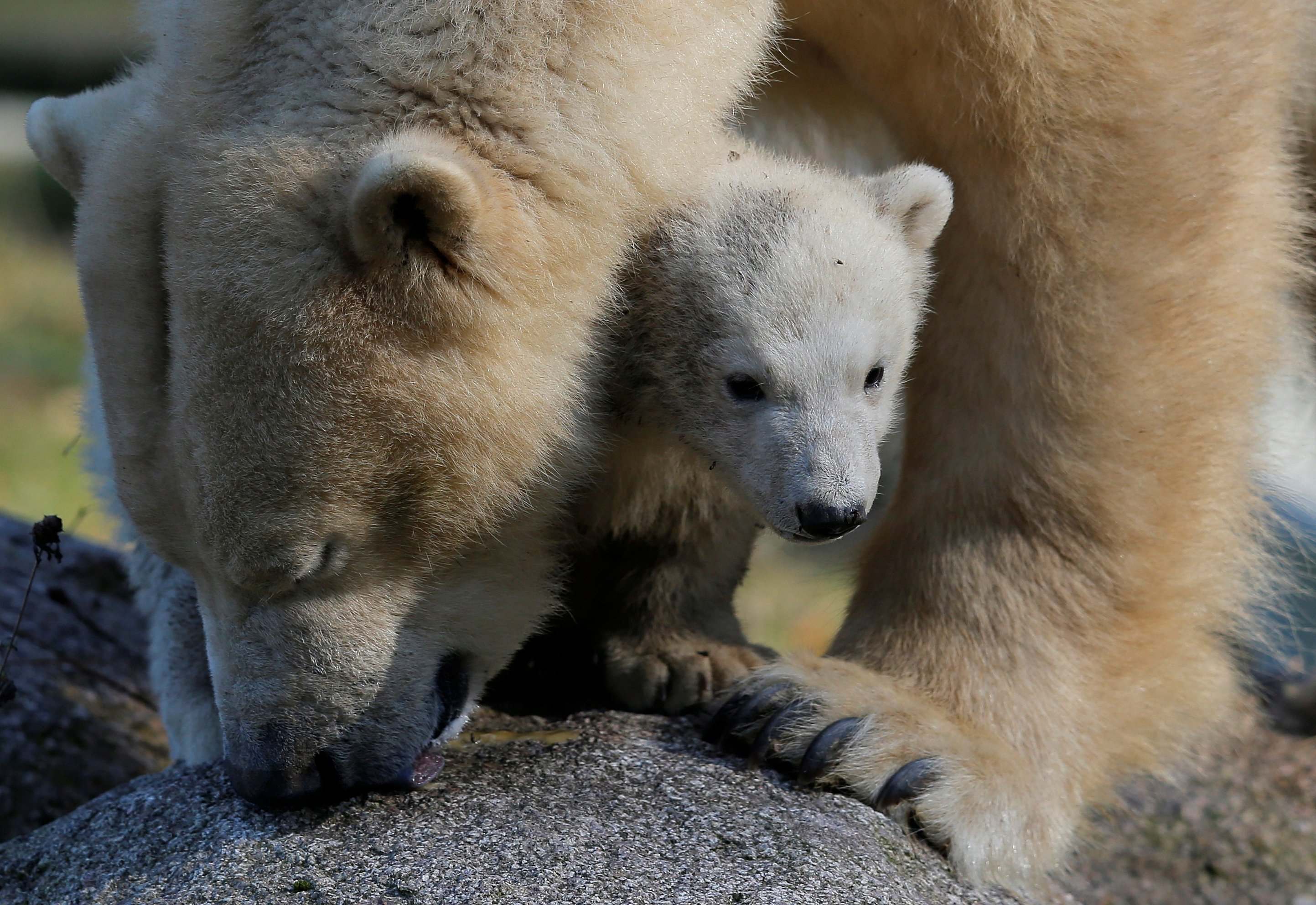How DNA from polar bear cubs in an Ohio zoo helps fight crime in the Arctic