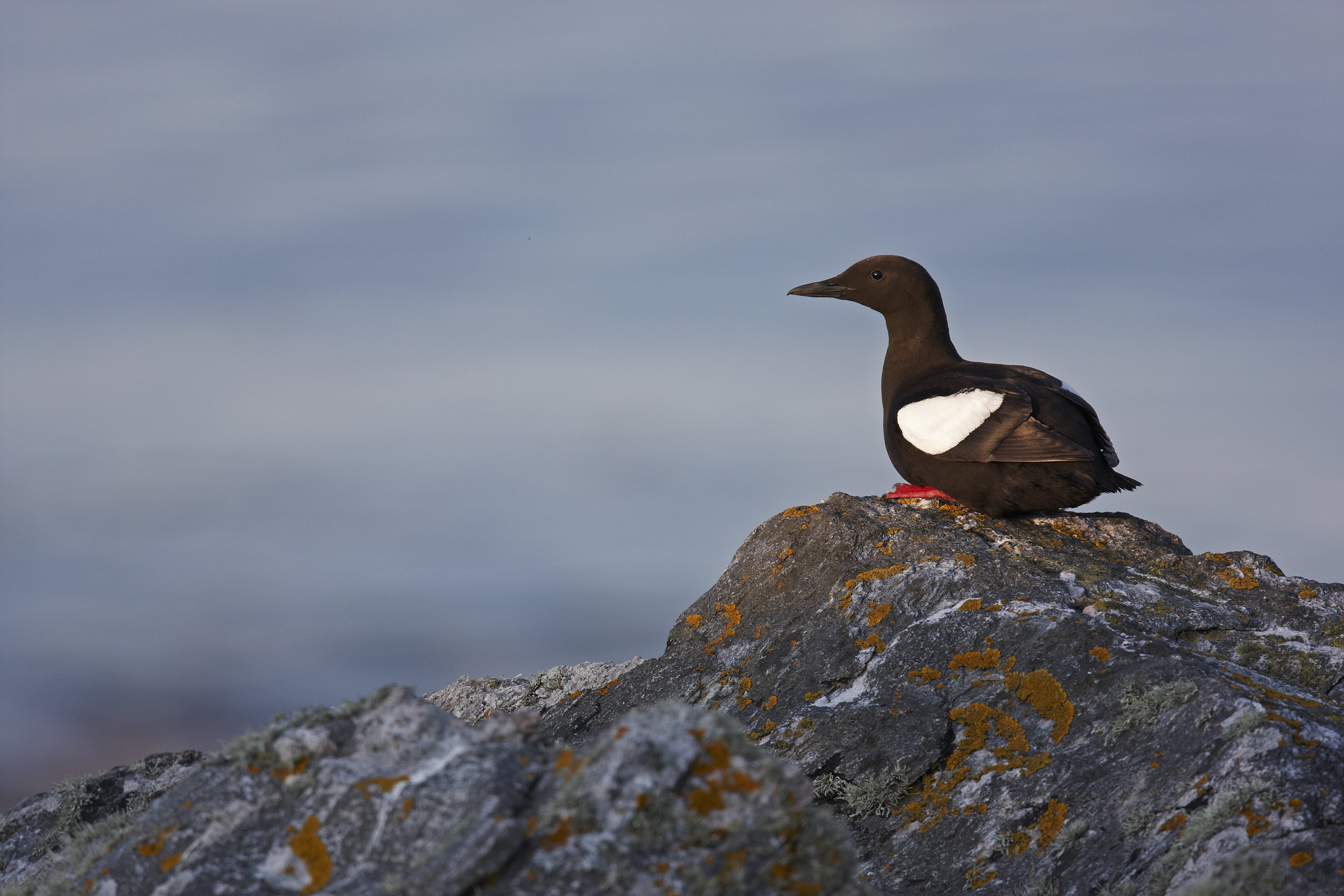 Black guillemot standing on a rock with the sea in the background. (Getty)