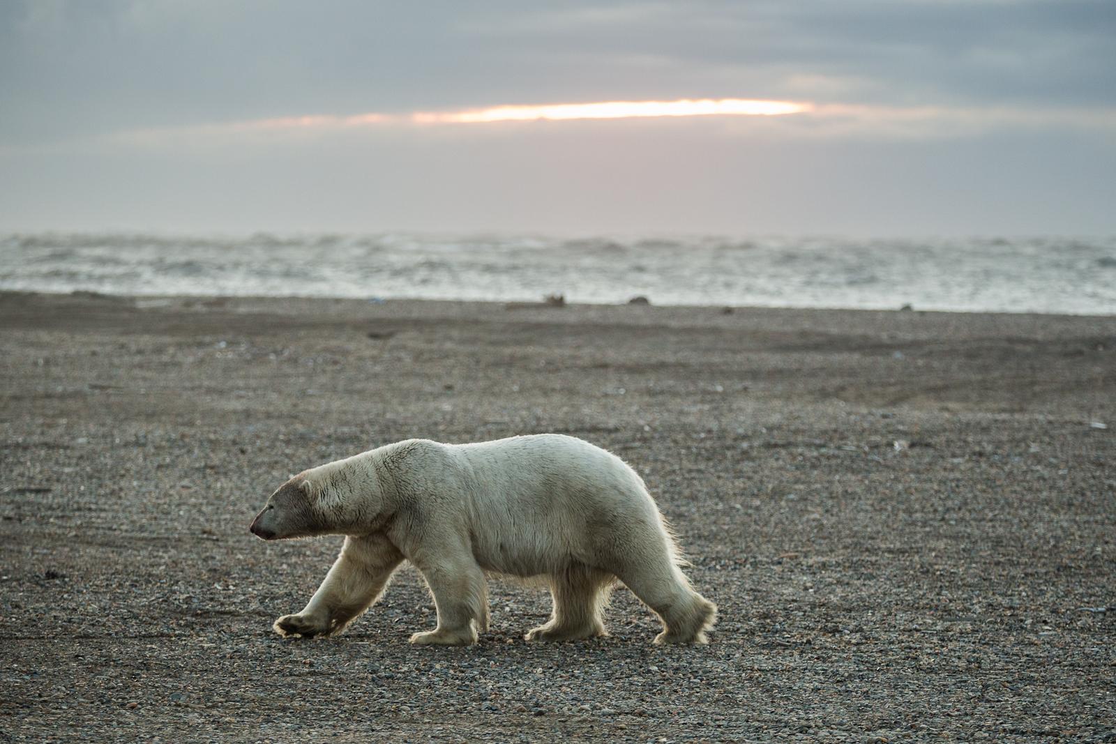 Nunavut Inuit group will lobby to lift polar bear ban, increase eastern hunt quota