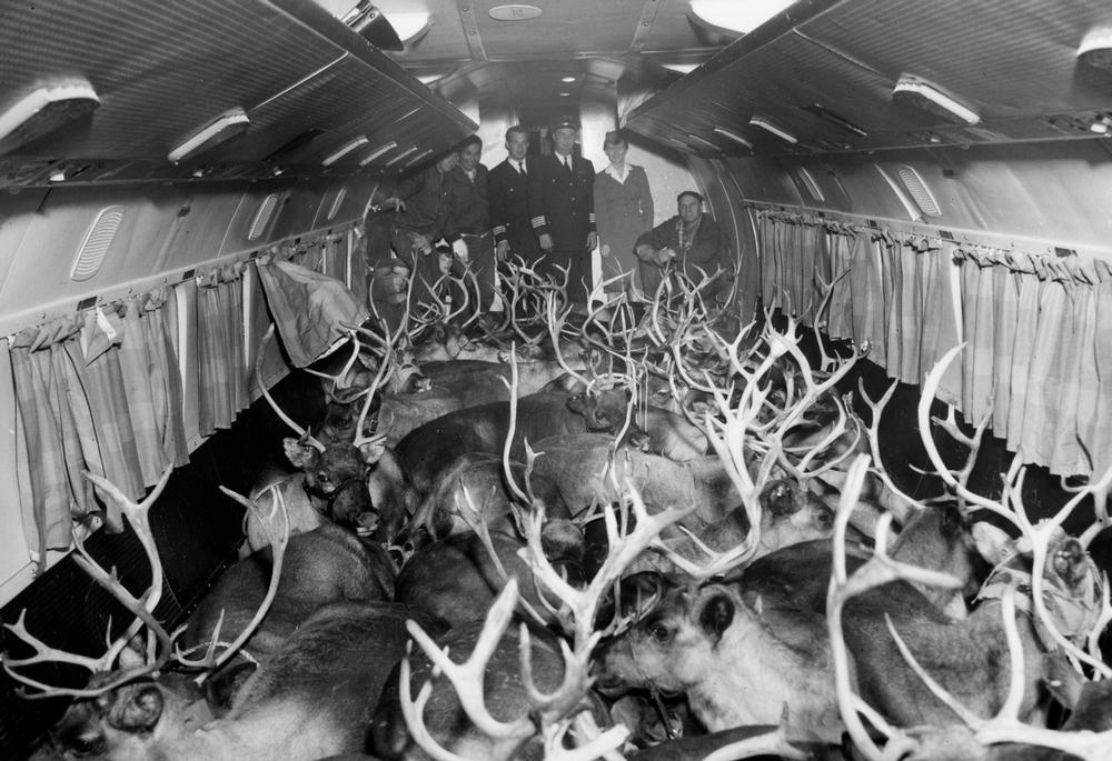 Reindeer being transported in a Wien Alaska Airlines airplane in Anchorage, with flight crew and reindeer herders in background, 1959. (Photo courtesy Wein Collection / Anchorage Museum)