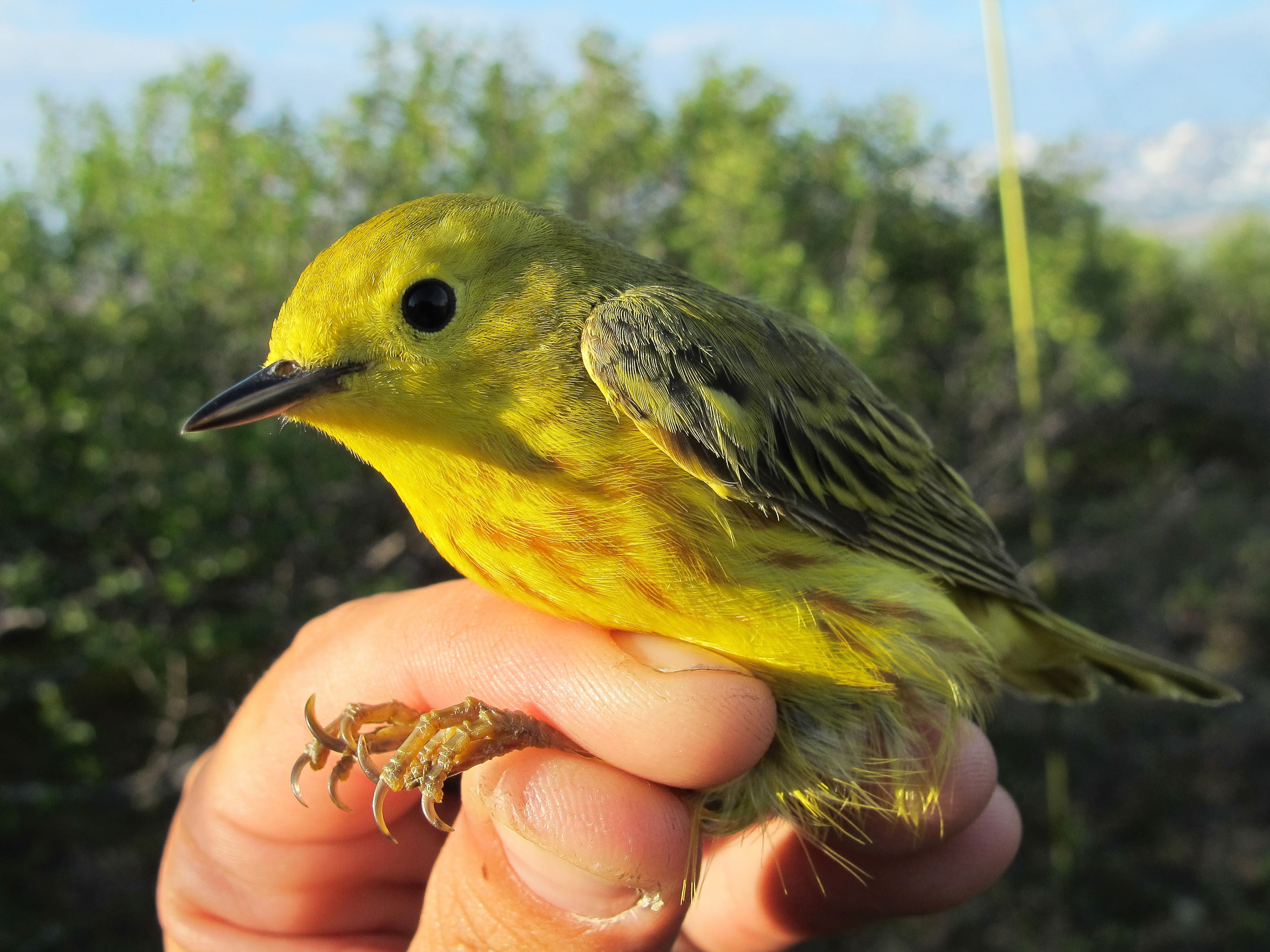 The spread of woody shrubs into tundra landscapes could benefit some birds — at last in the short term