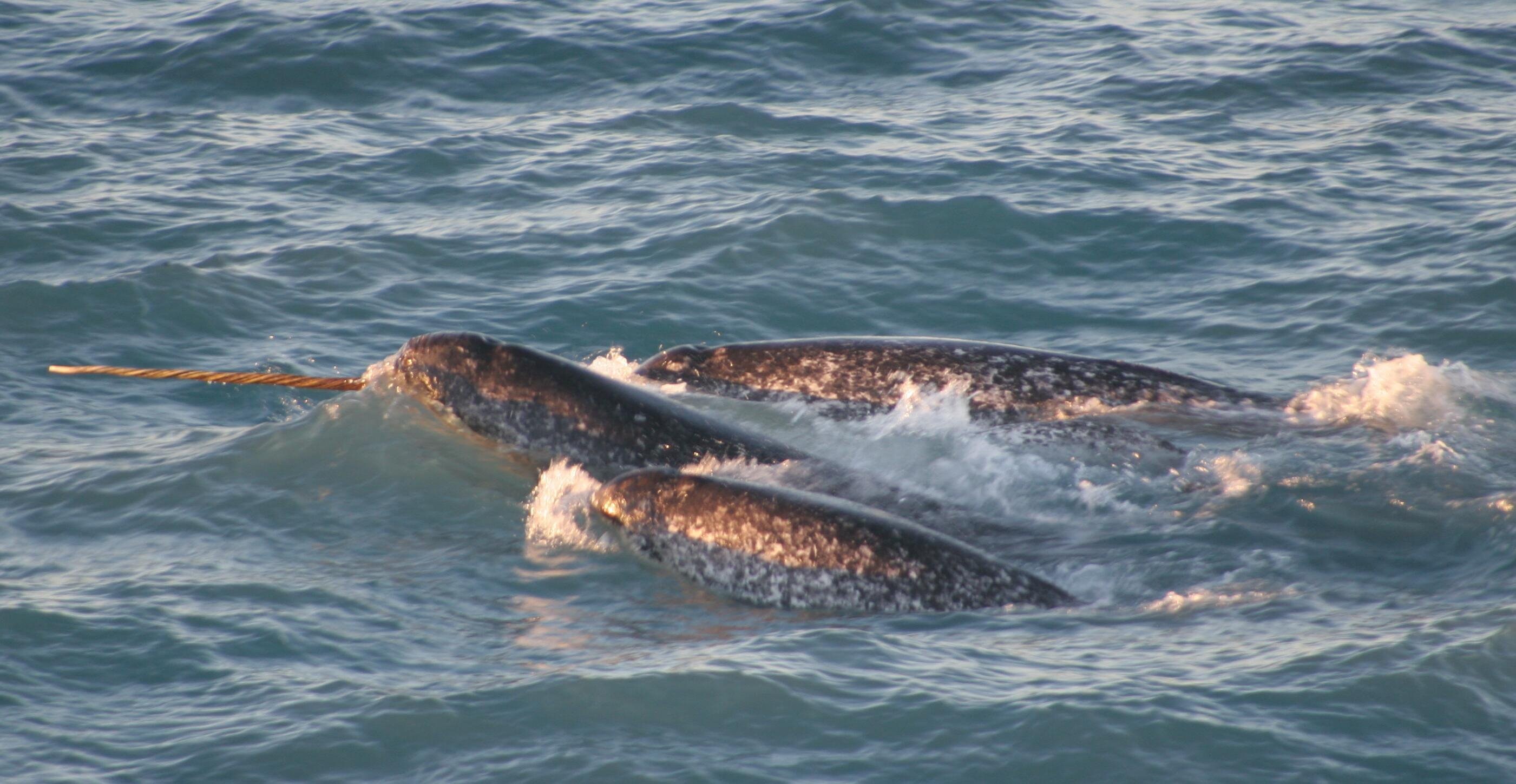 Pod of narwhals, northern Canada, August 2005 (Kristin Laidre / Polar Science Center Applied Physics Lab, University of Washington / NOAA)