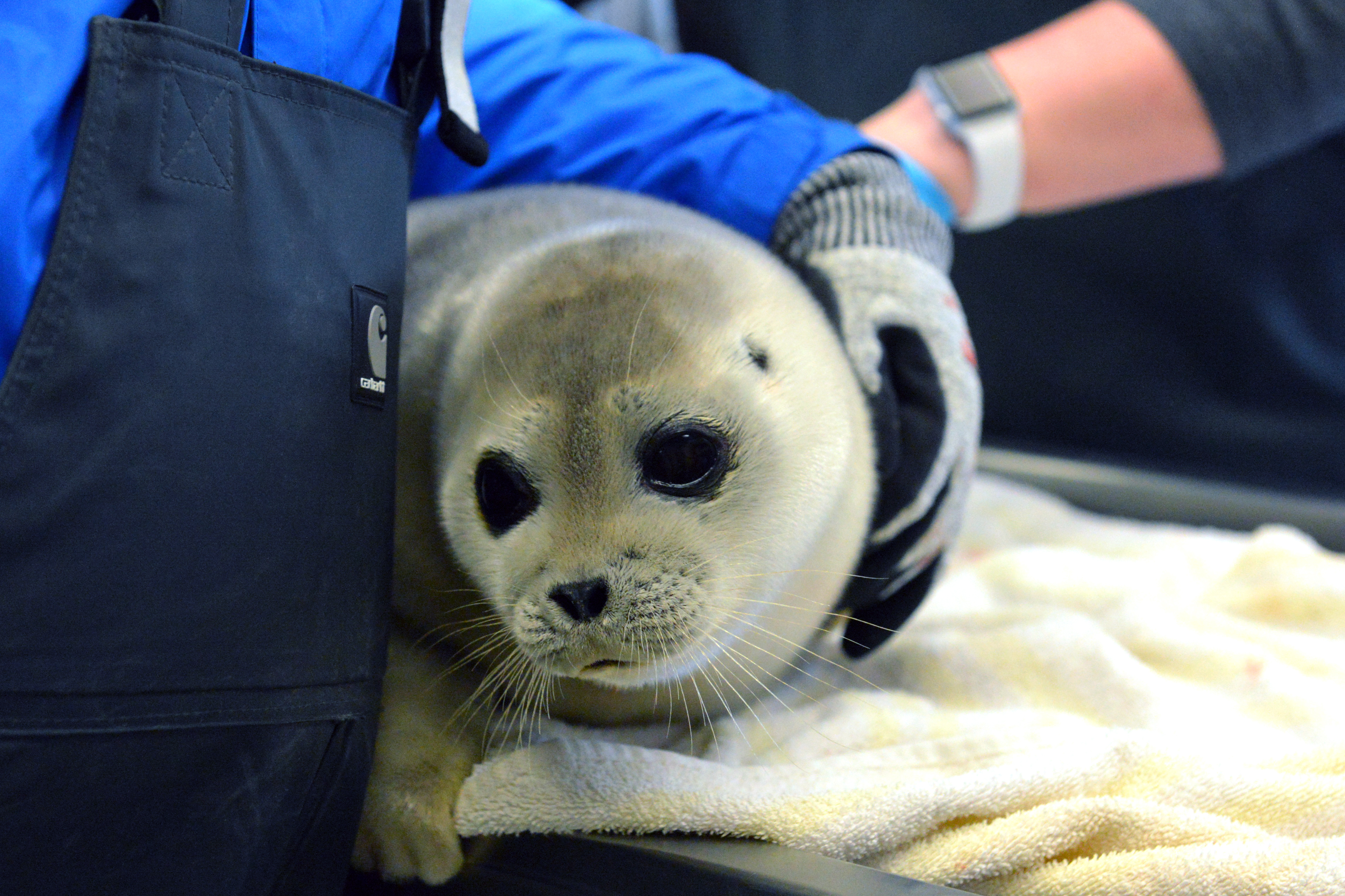 A new critical habitat designation is on the way for ringed seals, after US courts uphold threatened listing
