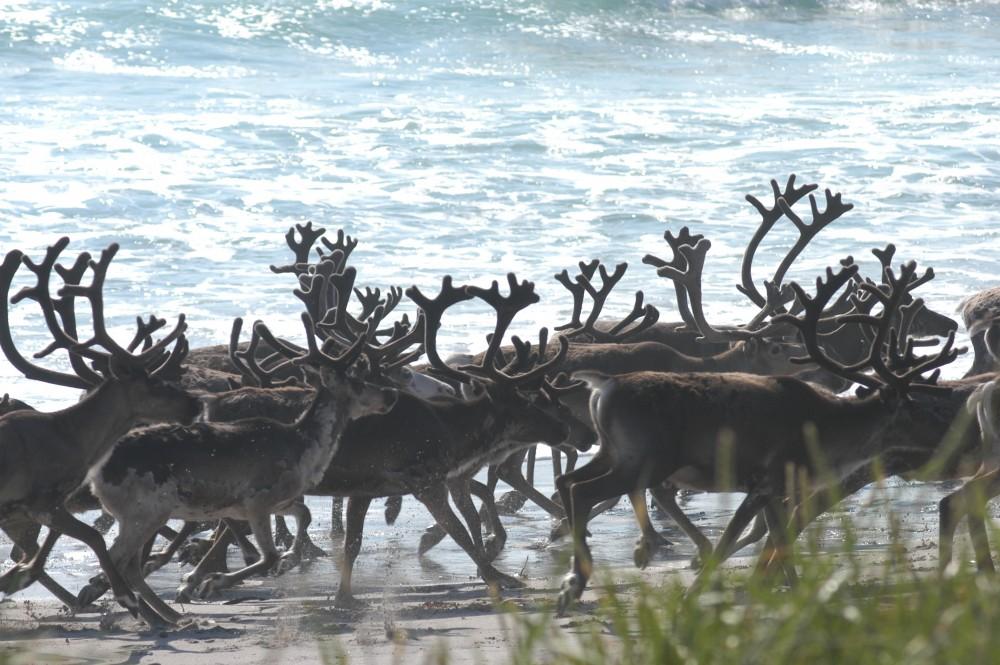 Norwegian 'slow-TV' follows reindeer herd to the coast