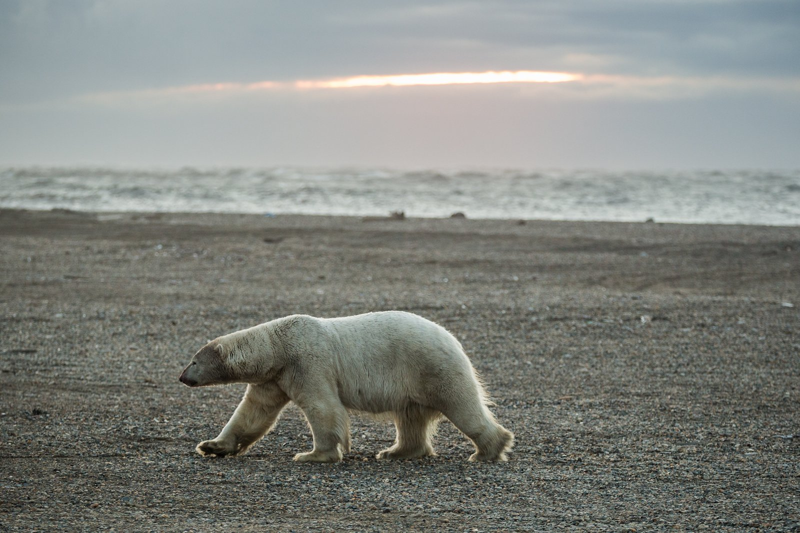 How do polar bears find prey? The answer is blowing in the wind