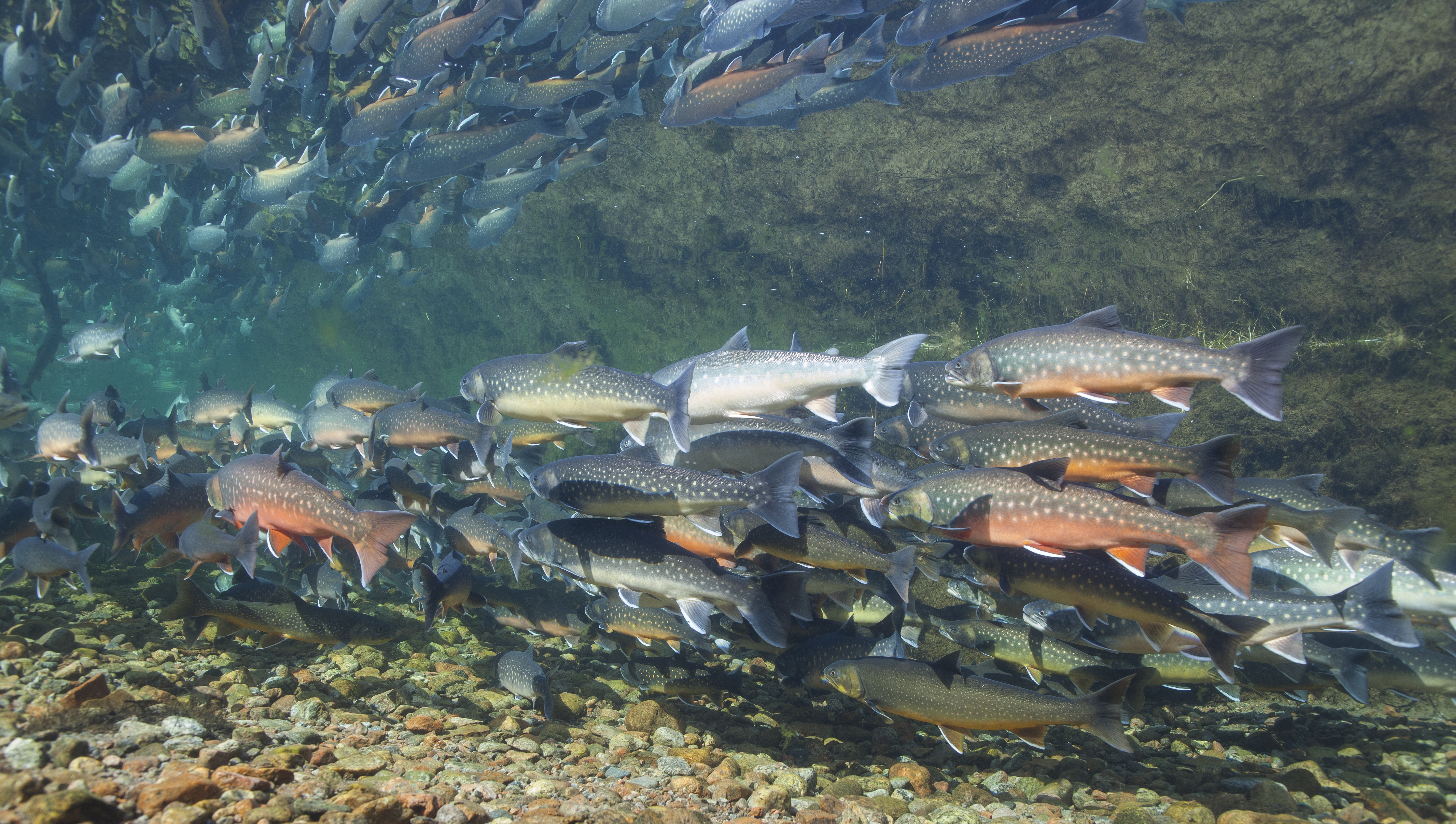 Arctic char stocks in Iceland's rivers and lakes are being depleted