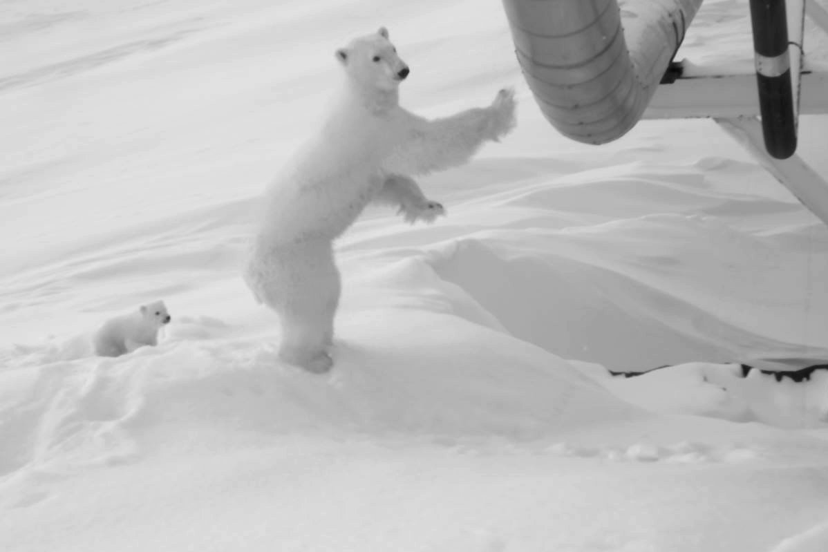 How one company protected a pregnant polar bear and then a cub near an oil field on Alaska's North Slope