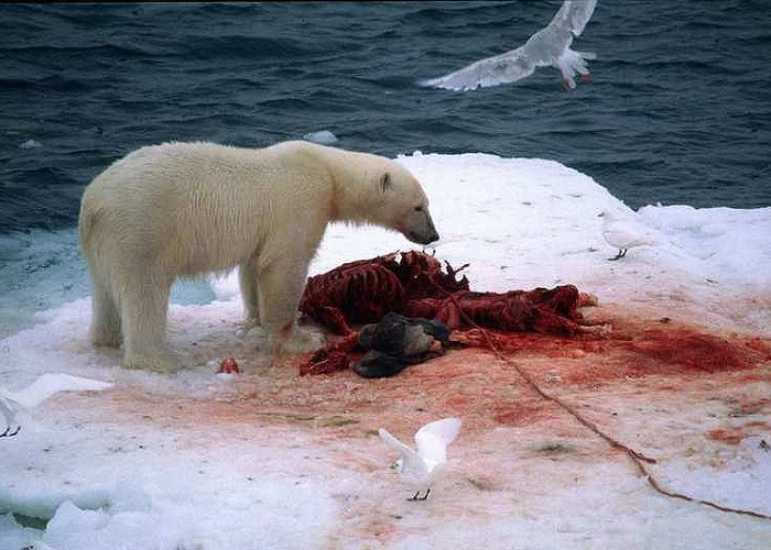 There are fewer seals on the menu for Svalbard's polar bears