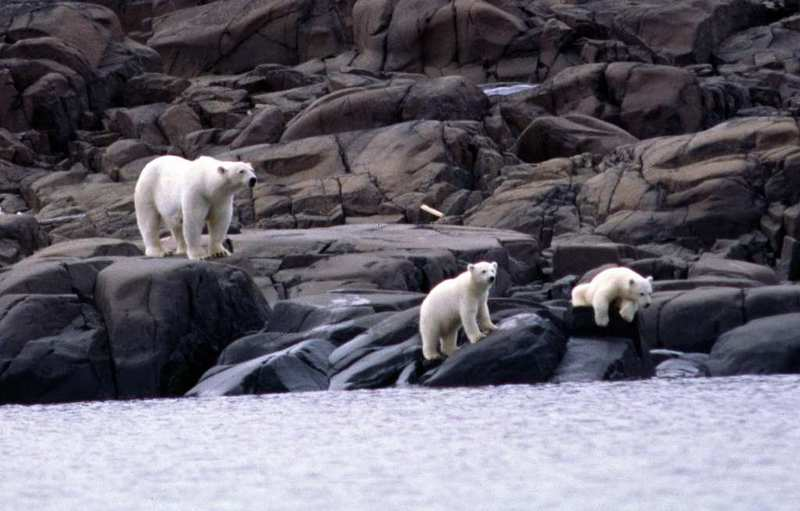 Polar bear with cubs on climbing the rocks on hunt for eggs and birds at Nordaustlandet at Svalbard. (Thomas Nilsen / The Independent Barents Observer)