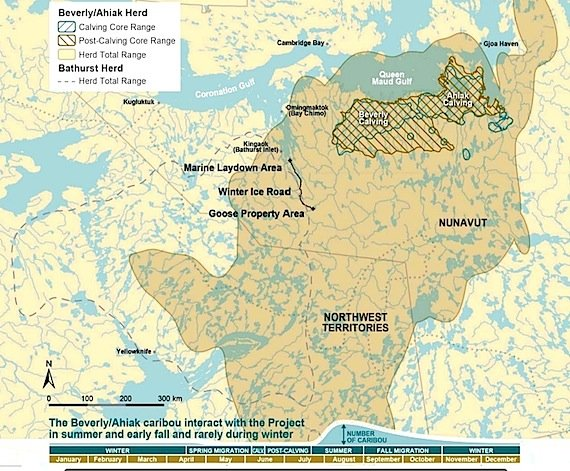 Caribou again dominate Western Nunavut gold mine project review