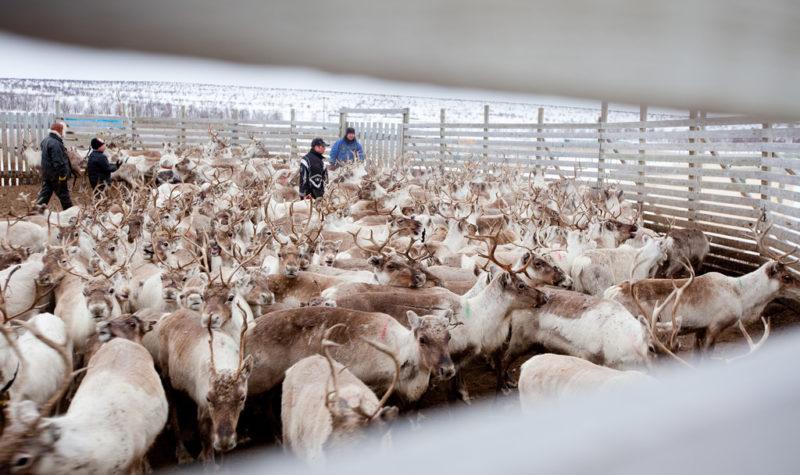 The Week Ahead: Erna in the reindeers' den