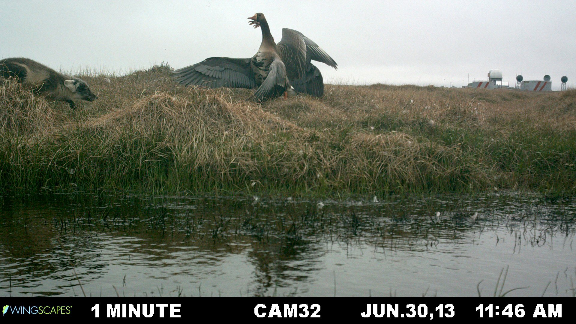 Geese at Lonely Point/Camp Lonely were documented automatically by installed cameras over 2013-14. Their nesting behaviors and interactions with other animals were captured. Fox received a big defensive reaction. (Brandt Meixell / USGS)