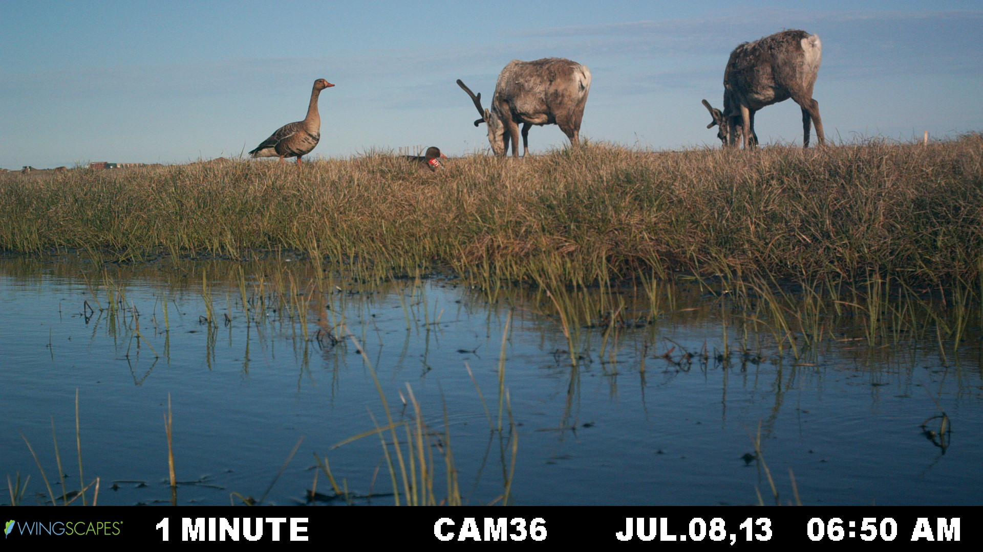 Geese at Lonely Point/Camp Lonely were documented automatically by installed cameras over 2013-14. Their nesting behaviors and interactions with other animals were captured. The geese didn't seem bothered much by caribou. (Brandt Meixell / USGS)