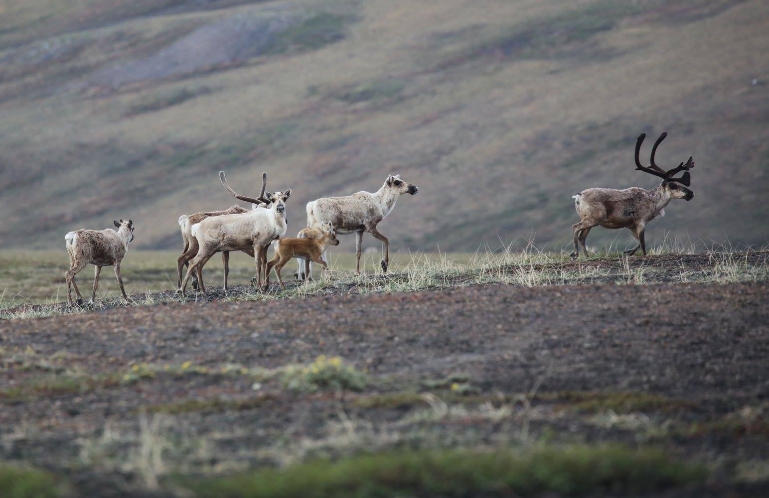 Caribou from the Porcupine herd. (Christine Cunningham)