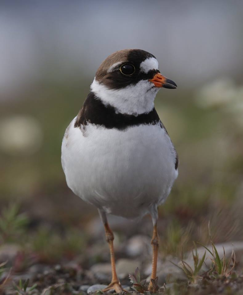 A plover who guards her nest near Christine Cunningham's camp. (Steve Meyer)
