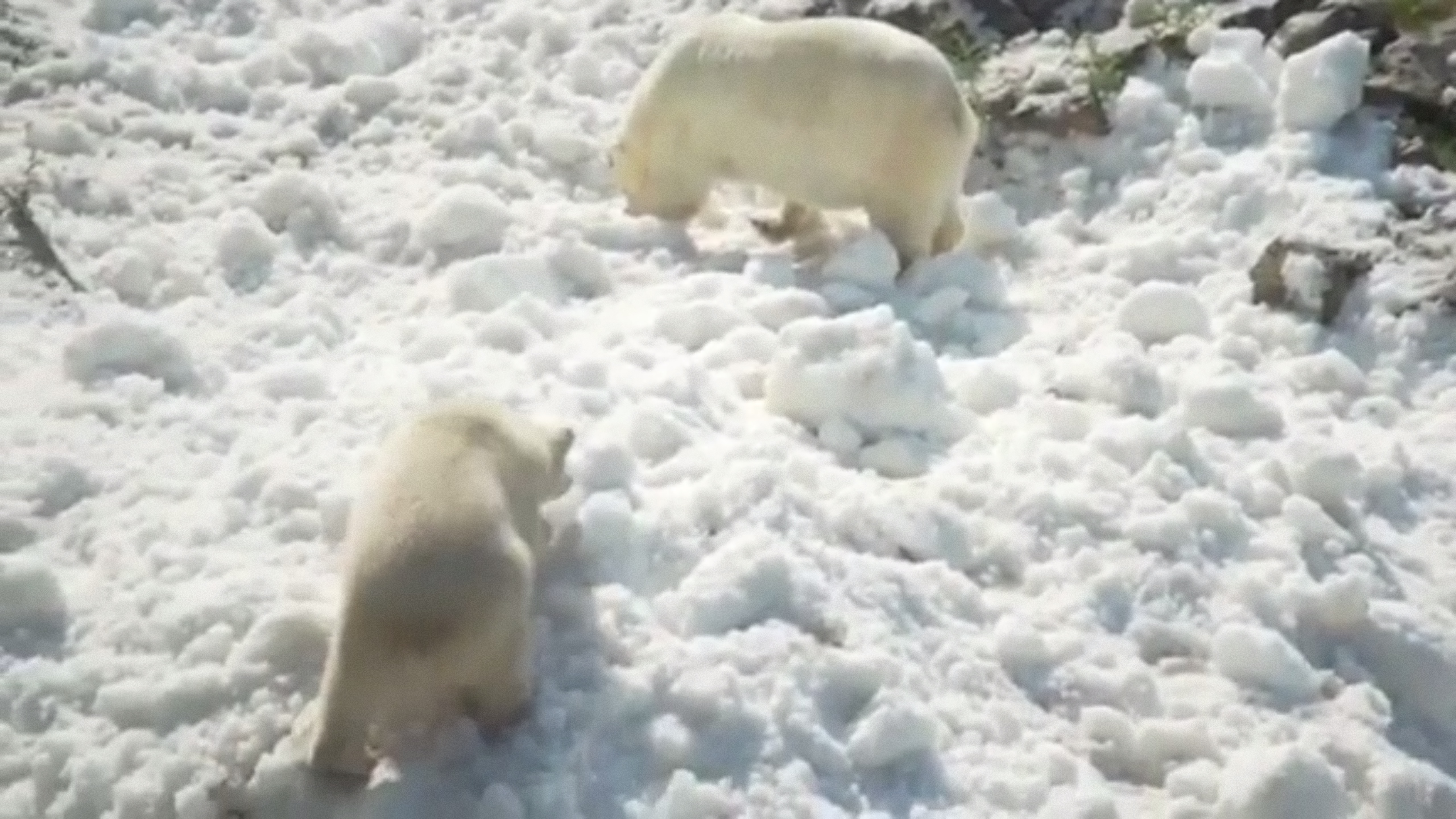 Christmas comes early for polar bears at a Finland zoo with snow in July