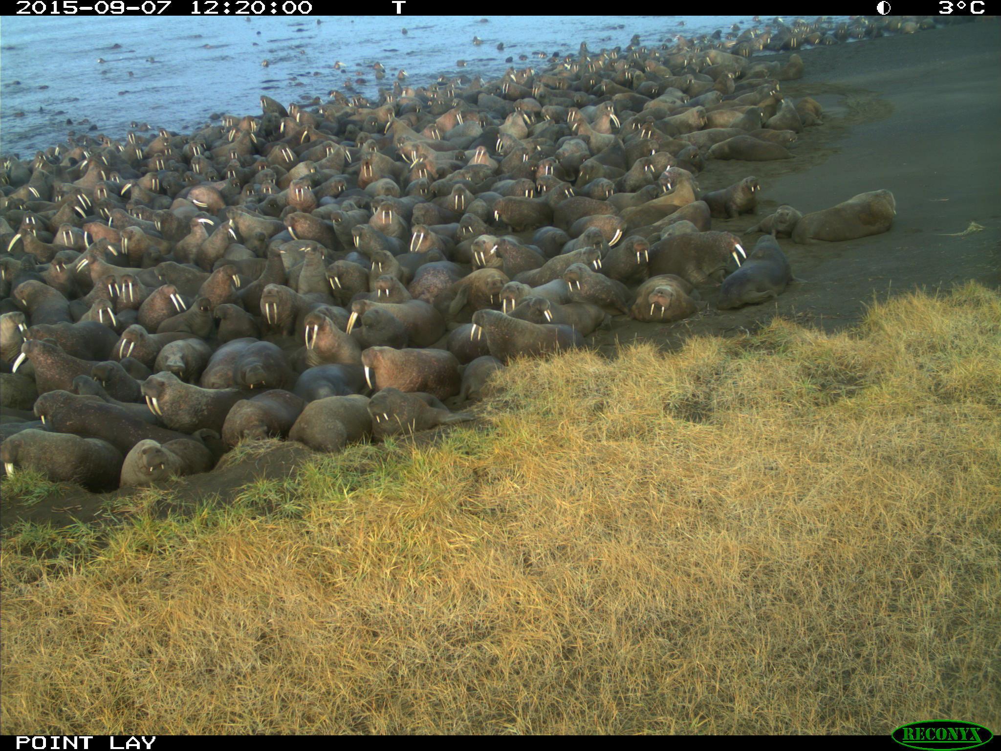 Walrus have once again begun massing at an Arctic Alaska beach