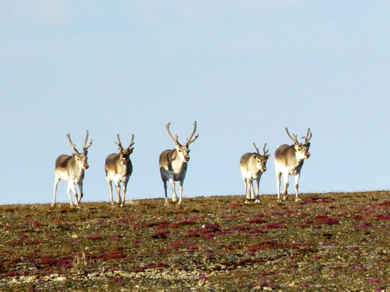 International Inuit org plans to create new wildlife committee