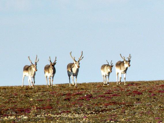 International Inuit org plans to create new wildlife committee