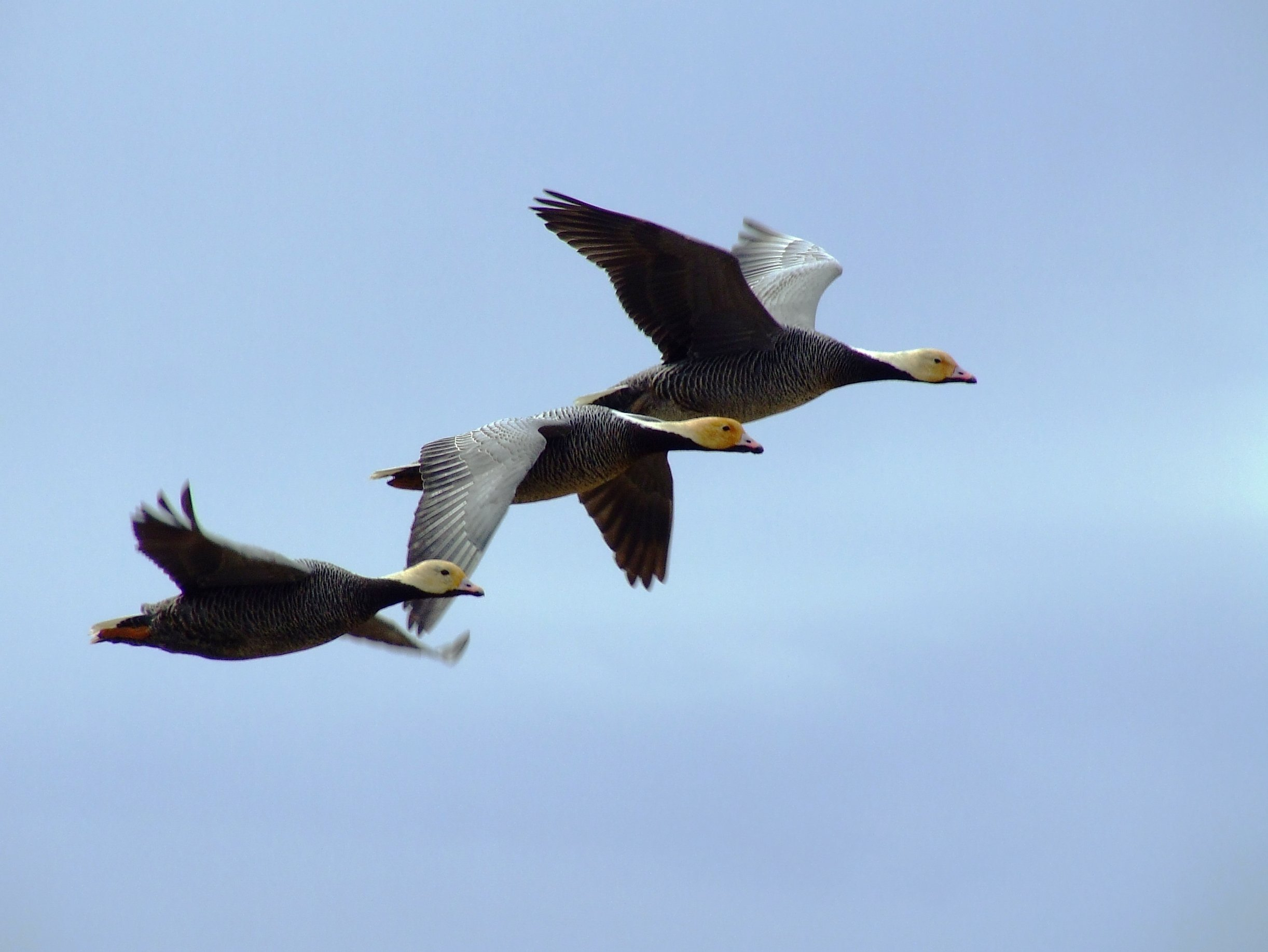 A trio of emperor geese in flight in the Yukon Delta National Wildlife Refuge. (U.S. Fish and Wildlife Service)