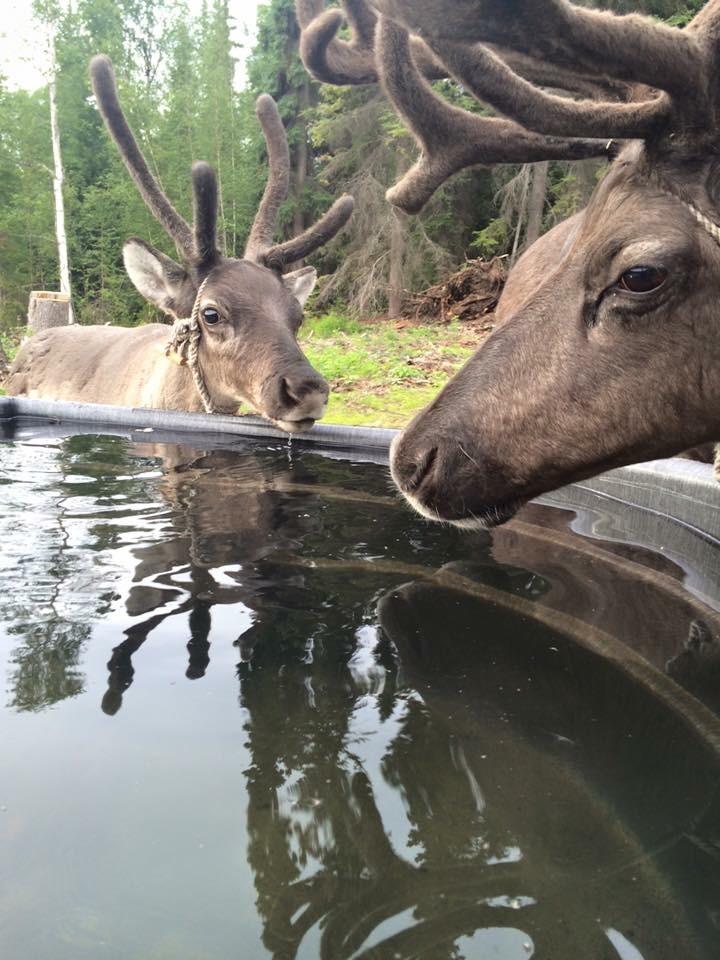 Kenji Yoshikawa's reindeer enjoy a water break in August 2015. (Kenji Yoshikawa)