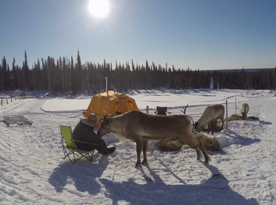Kenji Yoshikawa acclimates some reindeer to his tent in March 2017. (Photo courtesy of Kenji Yoshikawa)