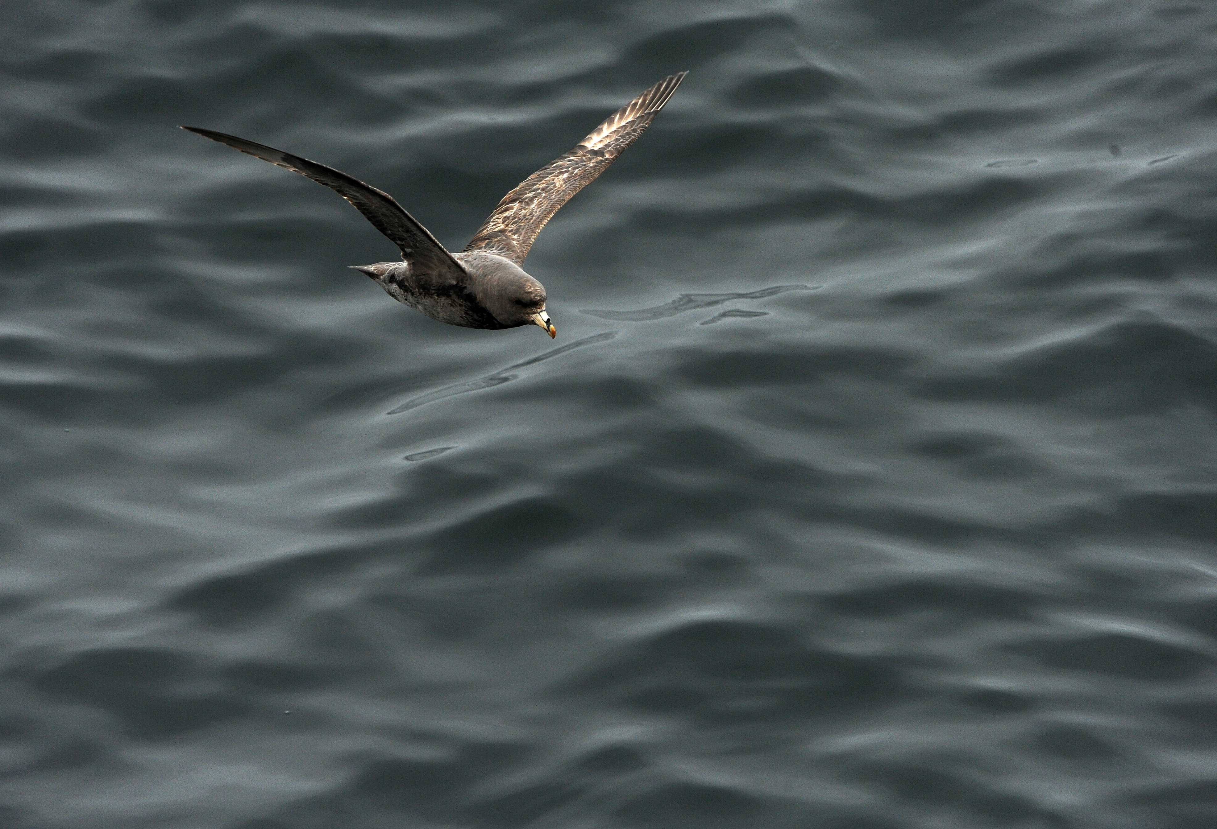 A northern fulmar flies just above the water as the US Fish and Wildlife Service research boat R/V Tiglax travels among the Aleutian Islands on Friday, June 5, 2015. Scientists on the R/V Tiglax conduct research in the Alaska Maritime National Wildlife Refuge. (Bob Hallinen / Alaska Dispatch News)