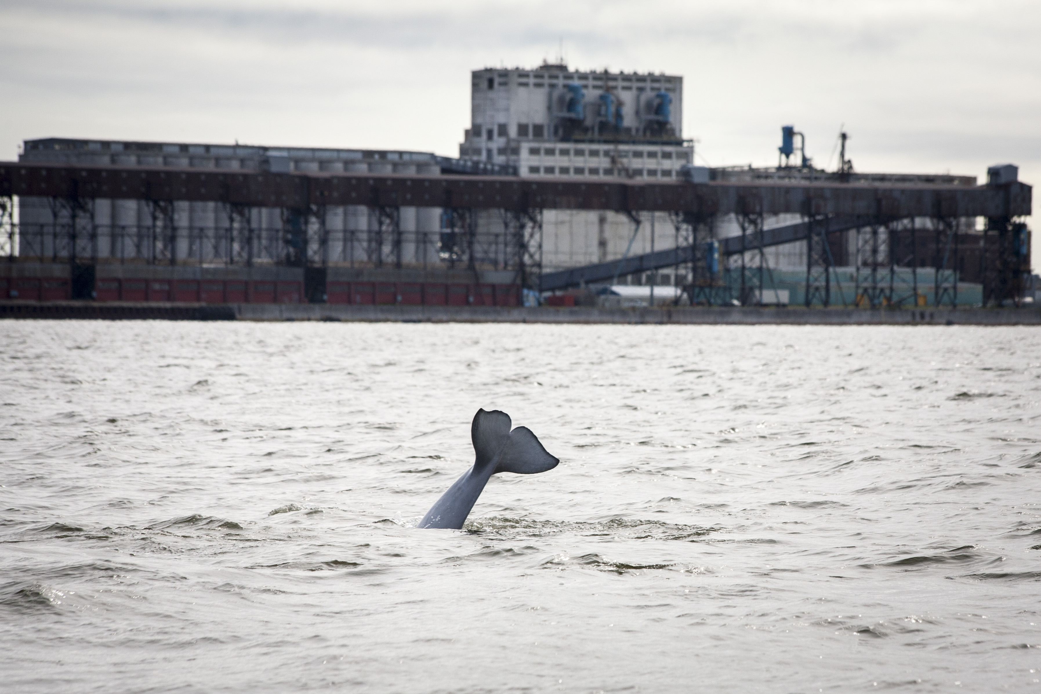 A beluga whale in the waters of Hudson Bay, near unused port facilities in Churchill, Manitoba, Canada, July 24, 2017. Beluga whales were a big draw that once brought tourists to this subarctic town, but the closure of Churchill's vital rail link to the rest of Canada has made the cost of visiting prohibitive for most. (Ian Willms / The New York Times)