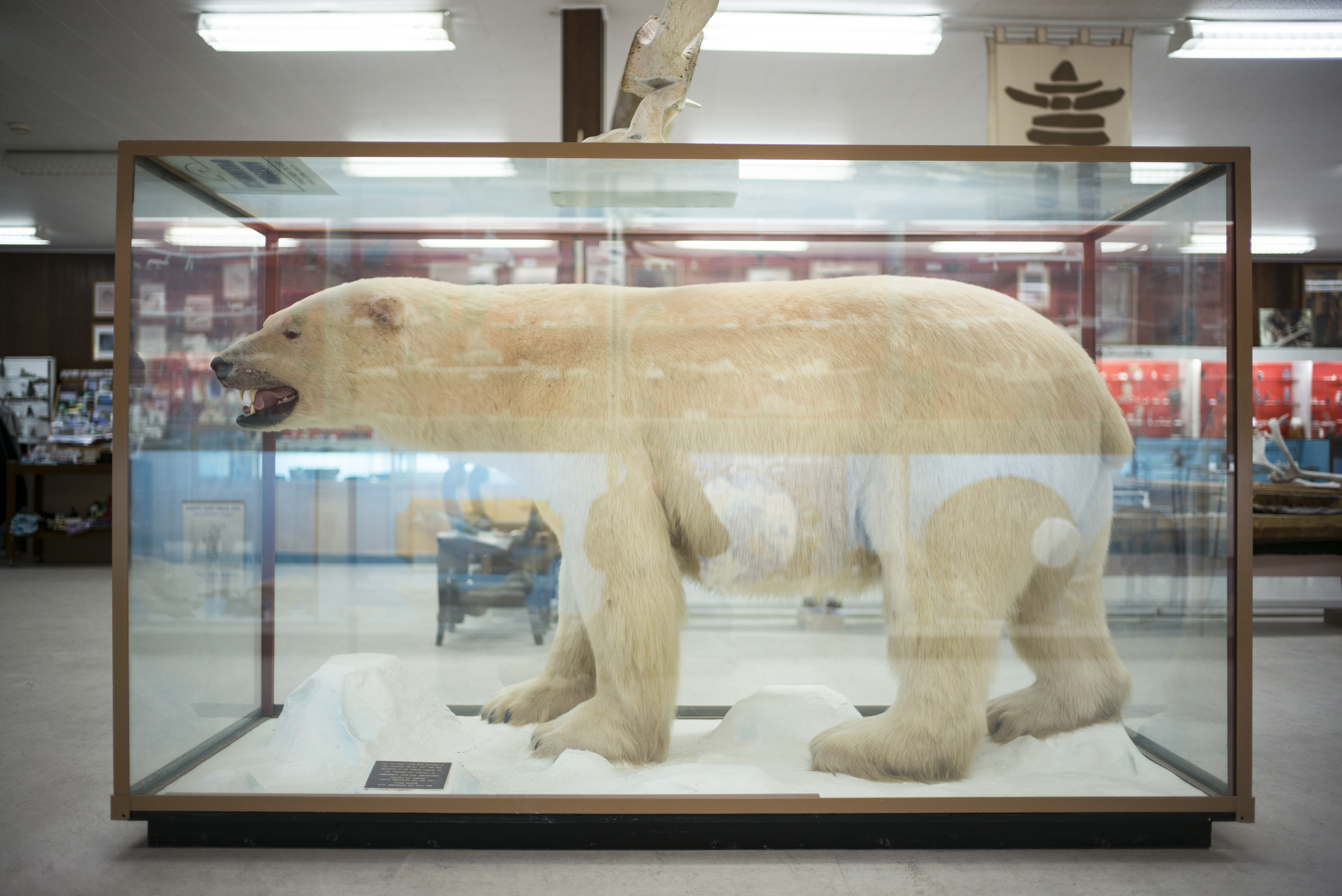 """An 800-pound stuffed polar bear on display at the Itsanitaq Museum in Churchill, Manitoba, Canada, July 25, 2017. Sitting on Hudson Bay, this self-professed """"polar bear capital of the world"""" once did a brisk tourist trade, but the closure of Churchill's vital rail link to the rest of Canada has made the cost of visiting prohibitive for most. (Ian Willms / The New York Times)"""