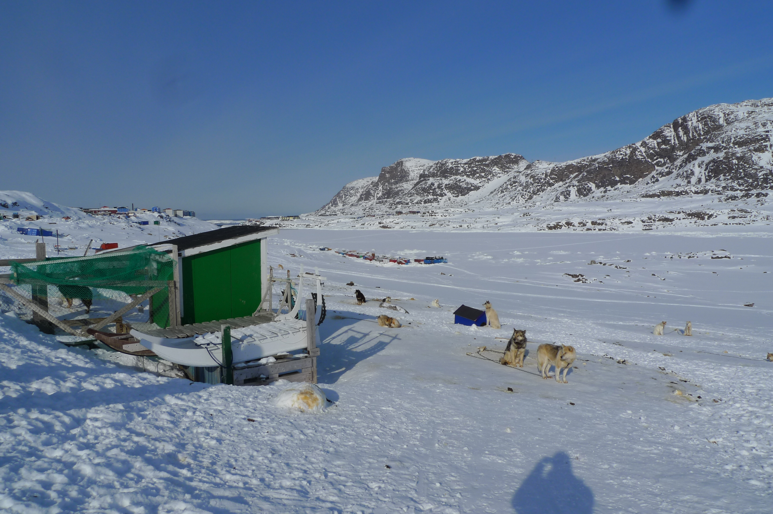 Sled dogs in Sisimiut. Greenland authorities have mandated vaccines and established registration in efforts to protect the dogs from virus outbreaks. (Kevin McGwin)