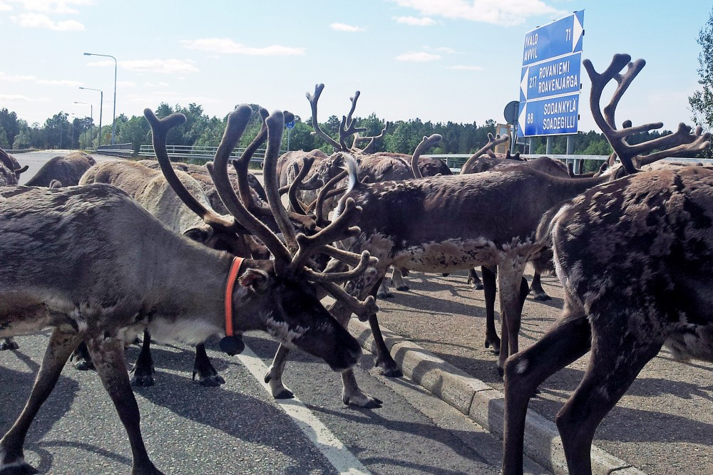 Reindeer warning app prevents road accidents - Arctic Today