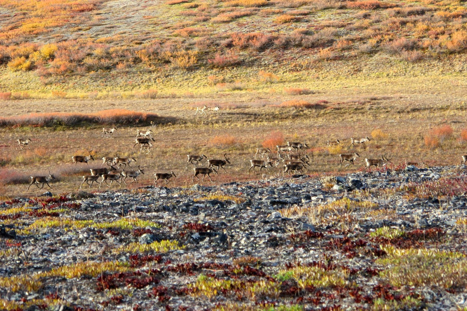 After years of decline, Western Arctic Caribou Herd stabilizes